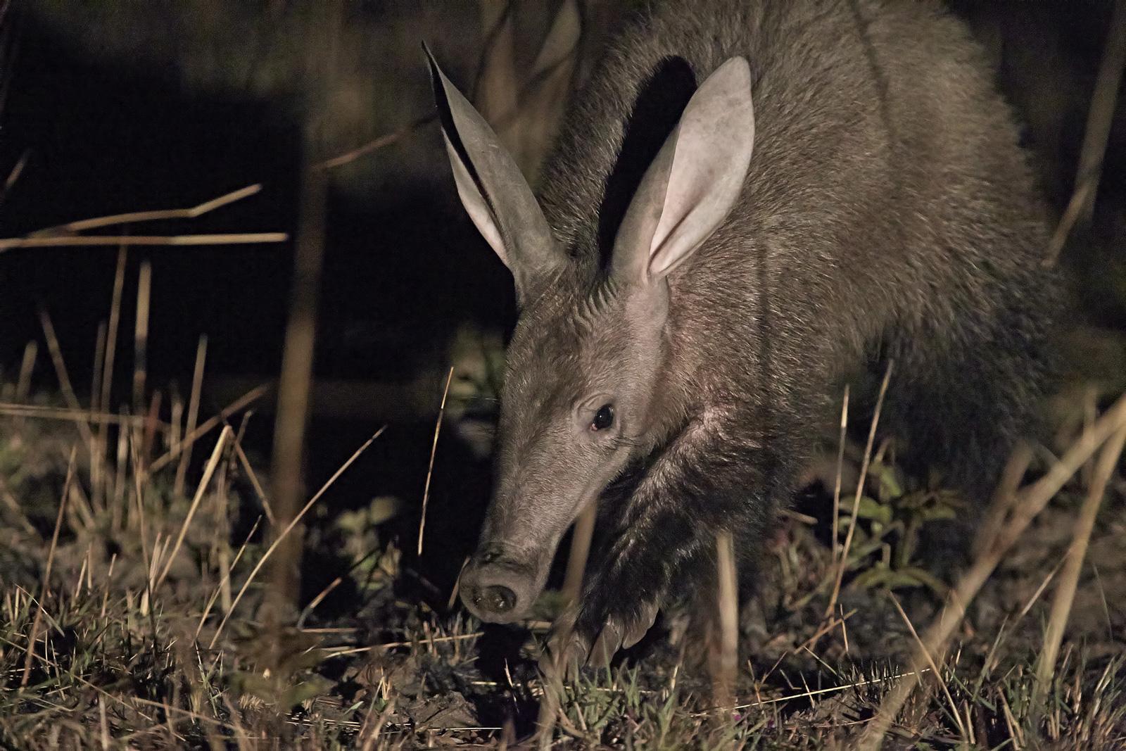 Aardvark again!...
