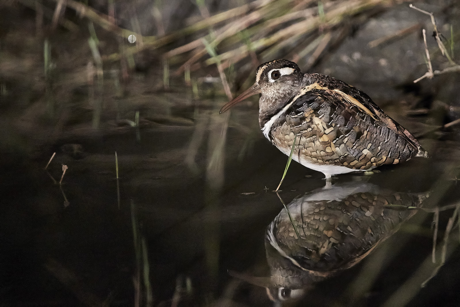 golden snipe (Painted benghalensis)...