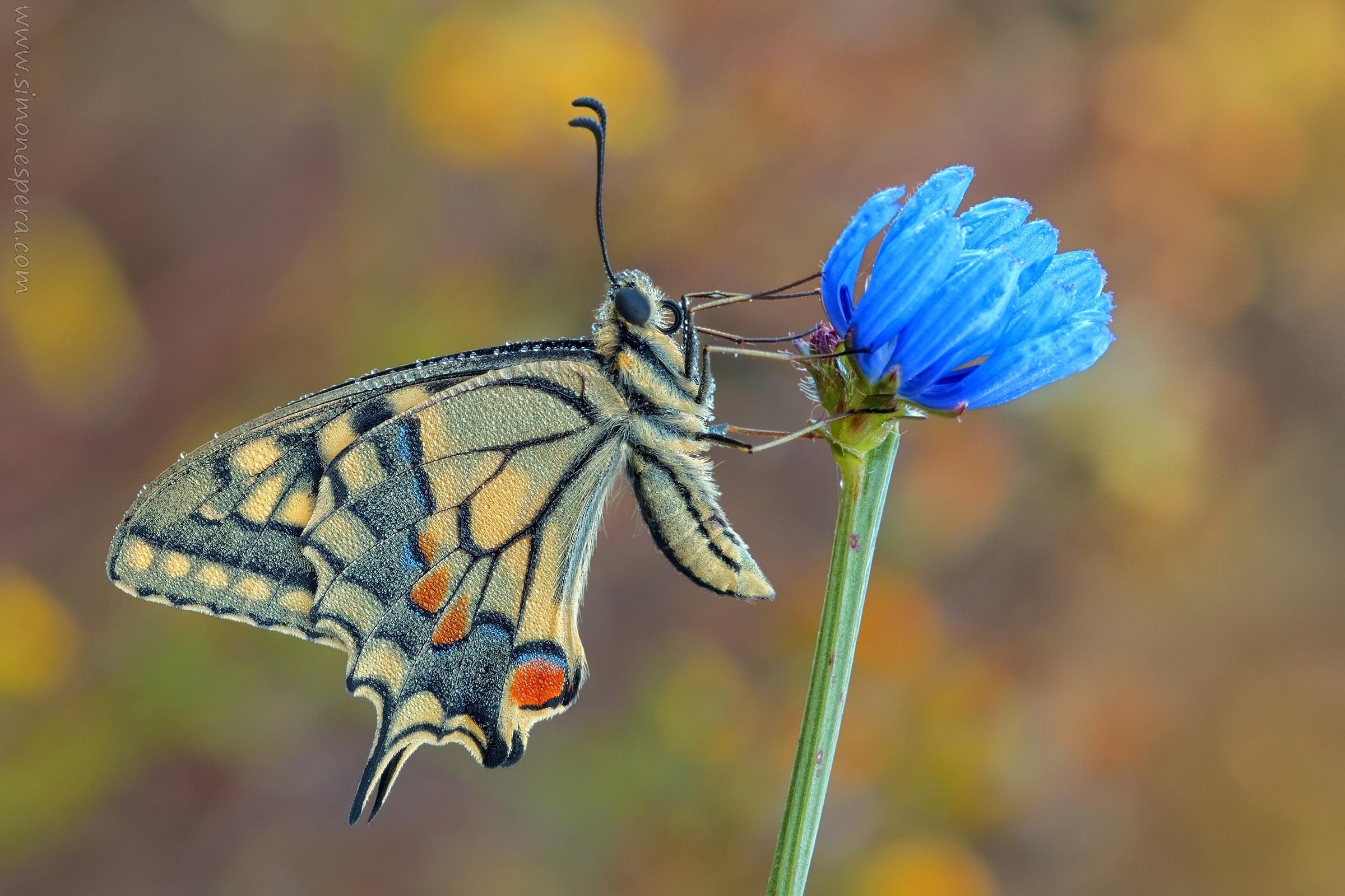 Papilio ......