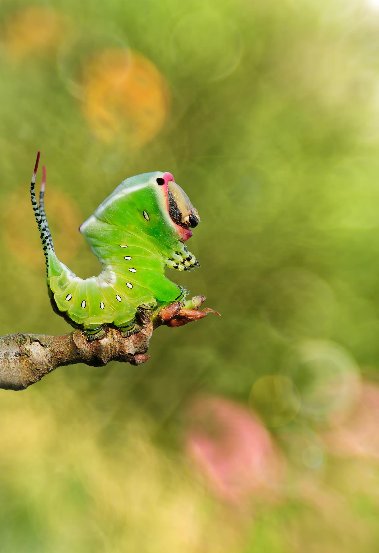 angry caterpillar...