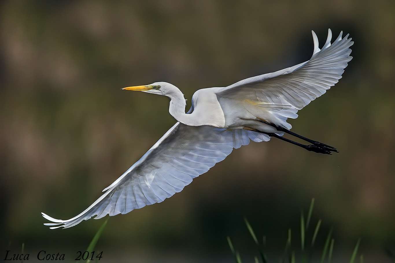 The elegance of the 'White Heron...