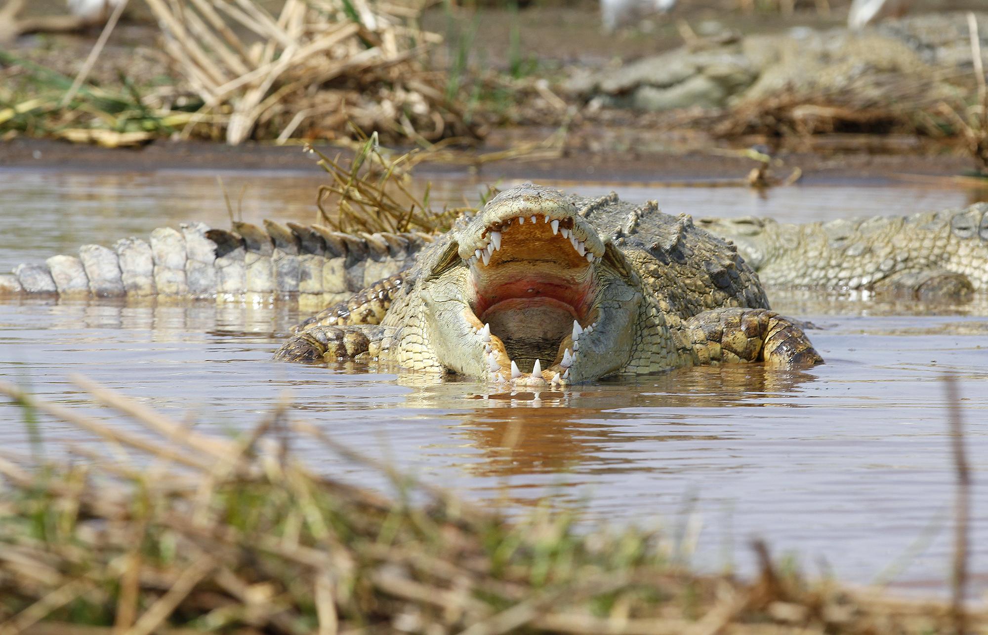 Ethiopian Crocodile...