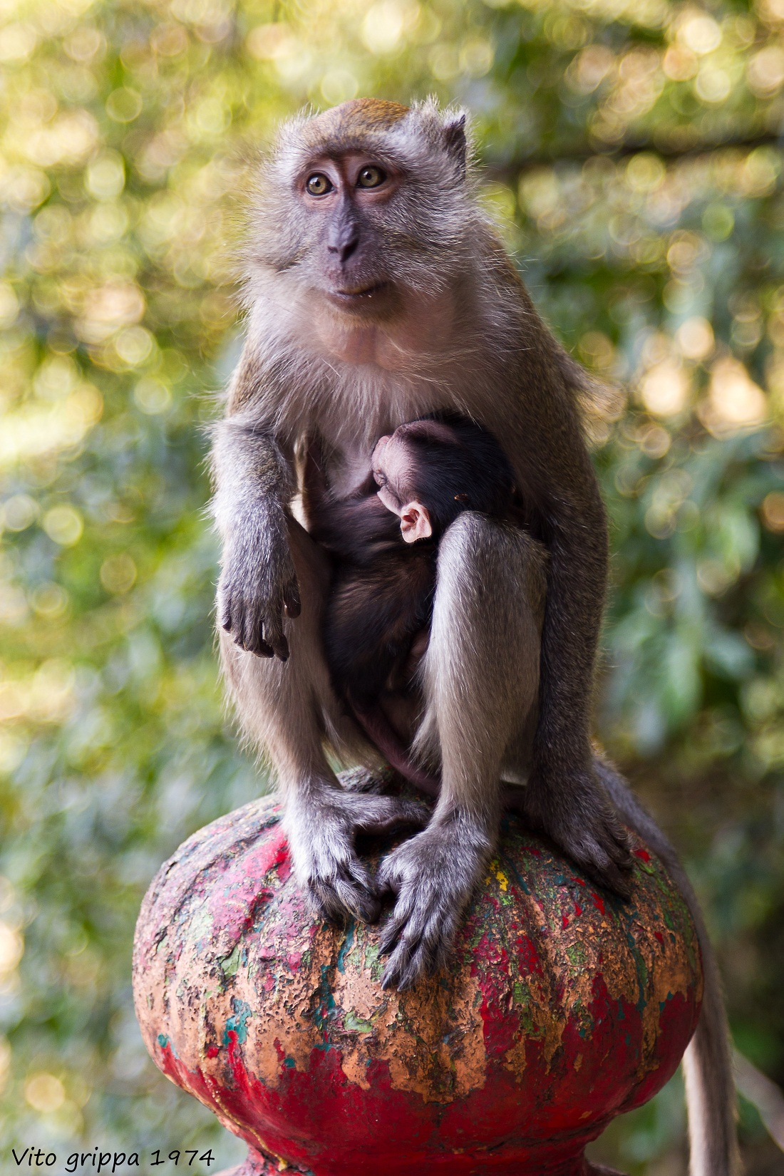Macaque mother and cub...