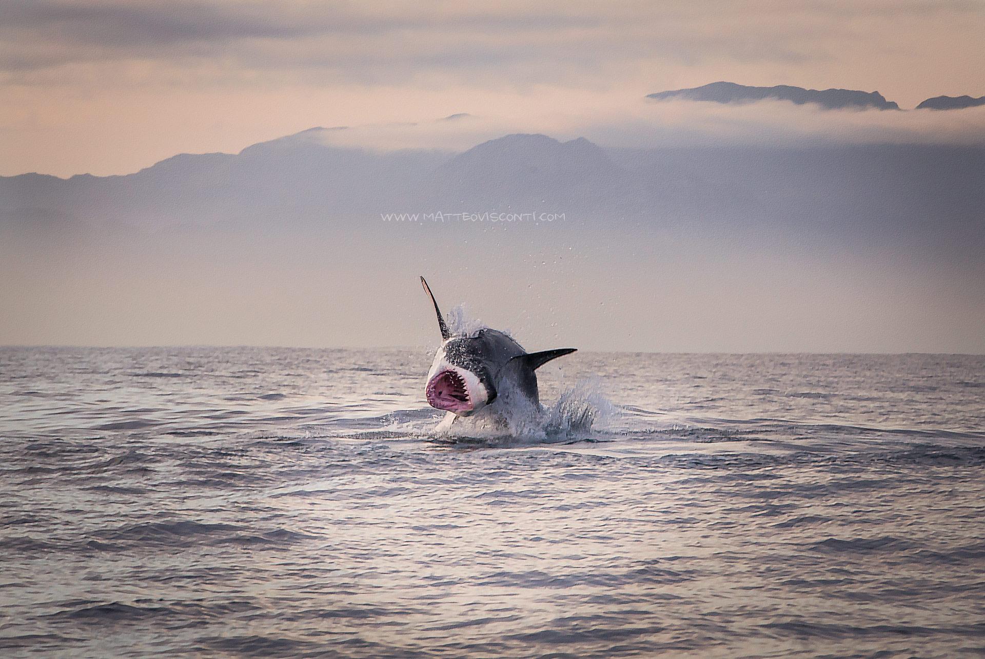 the great white shark...