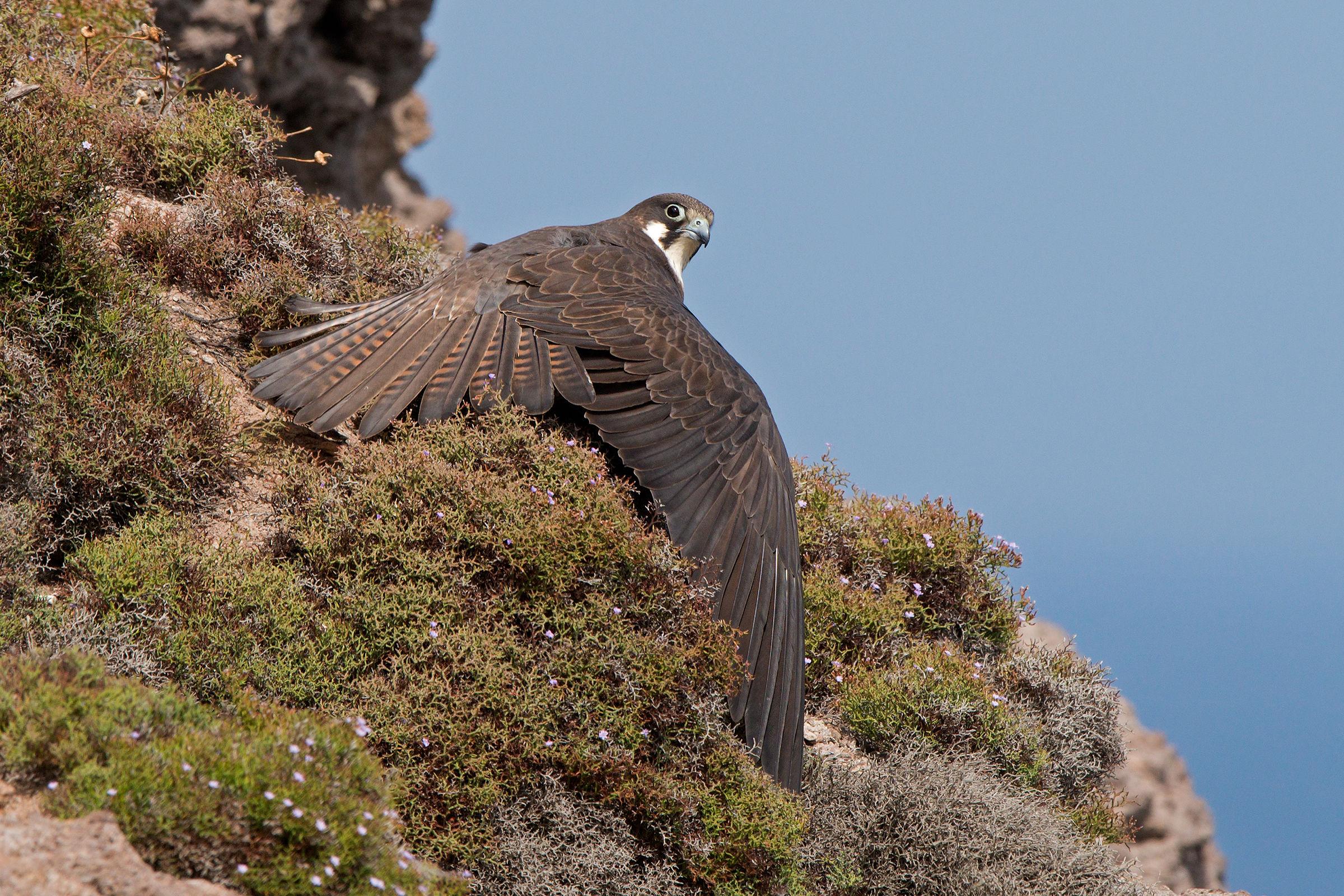 Eleonora's falcon while it dries....
