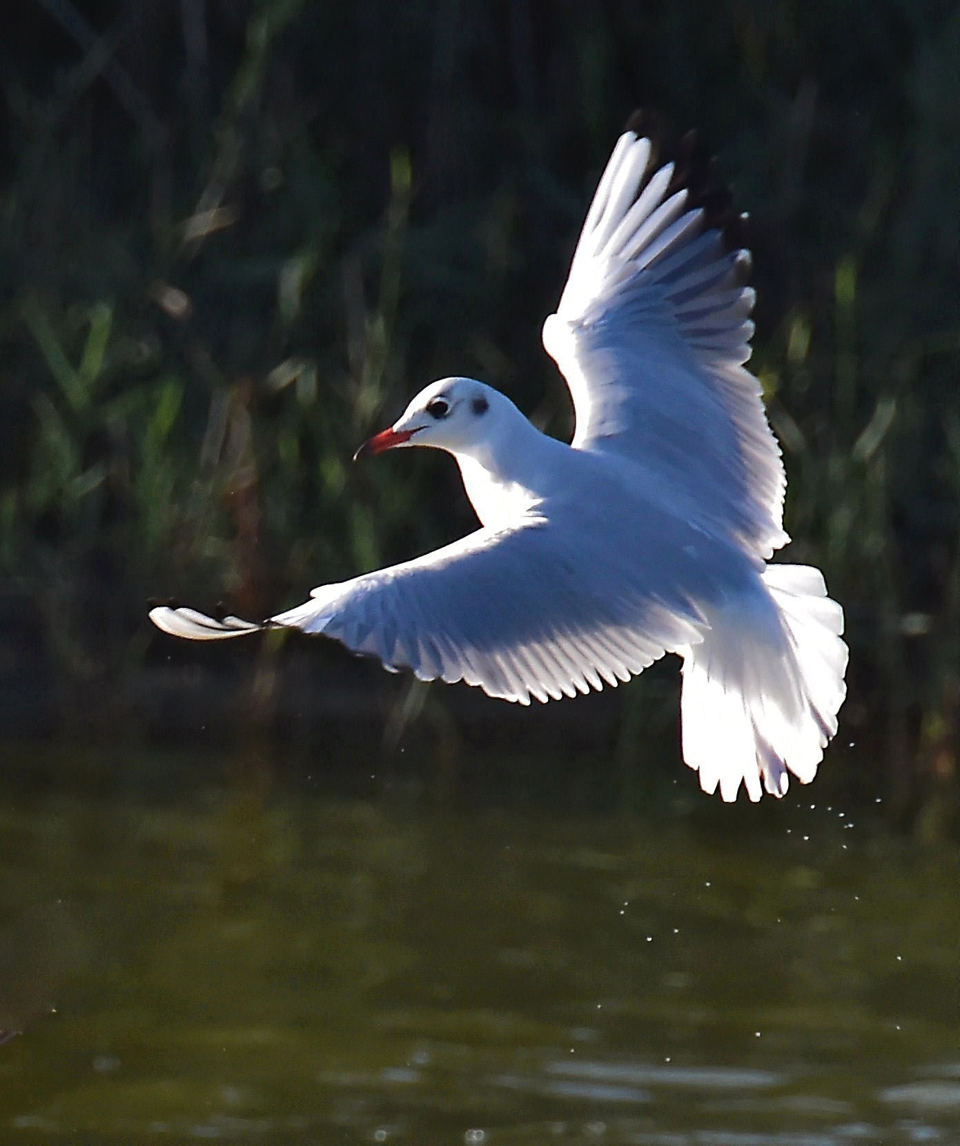 Seagull in flight...