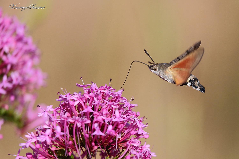 Butterfly hummingbird...
