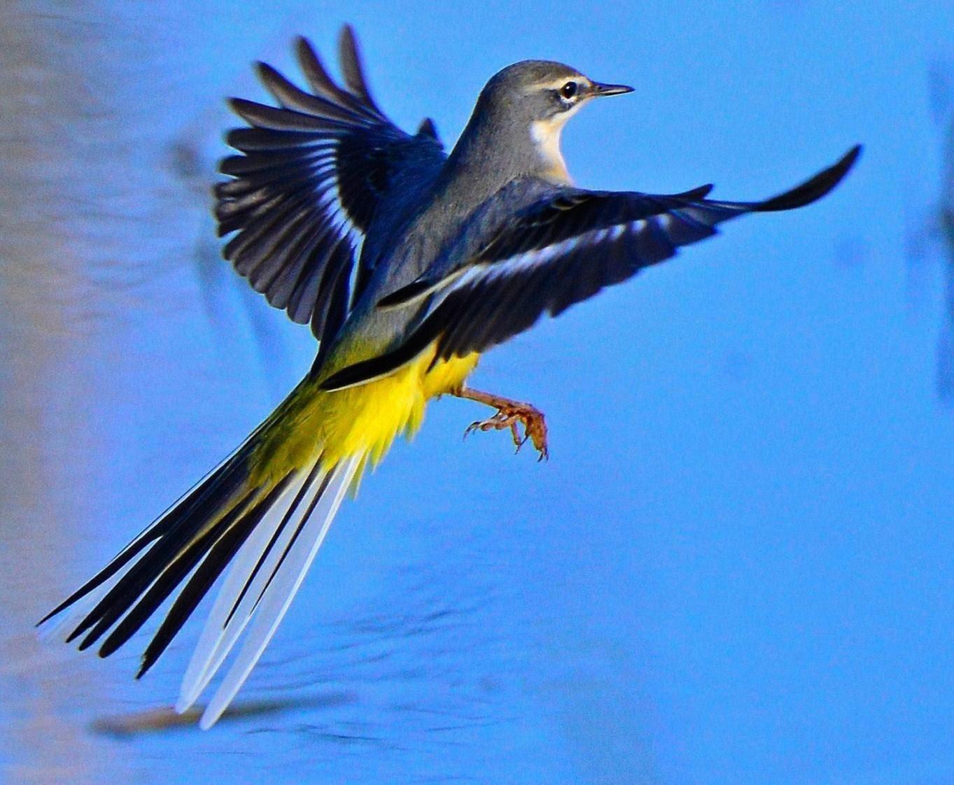 Yellow Wagtail .....