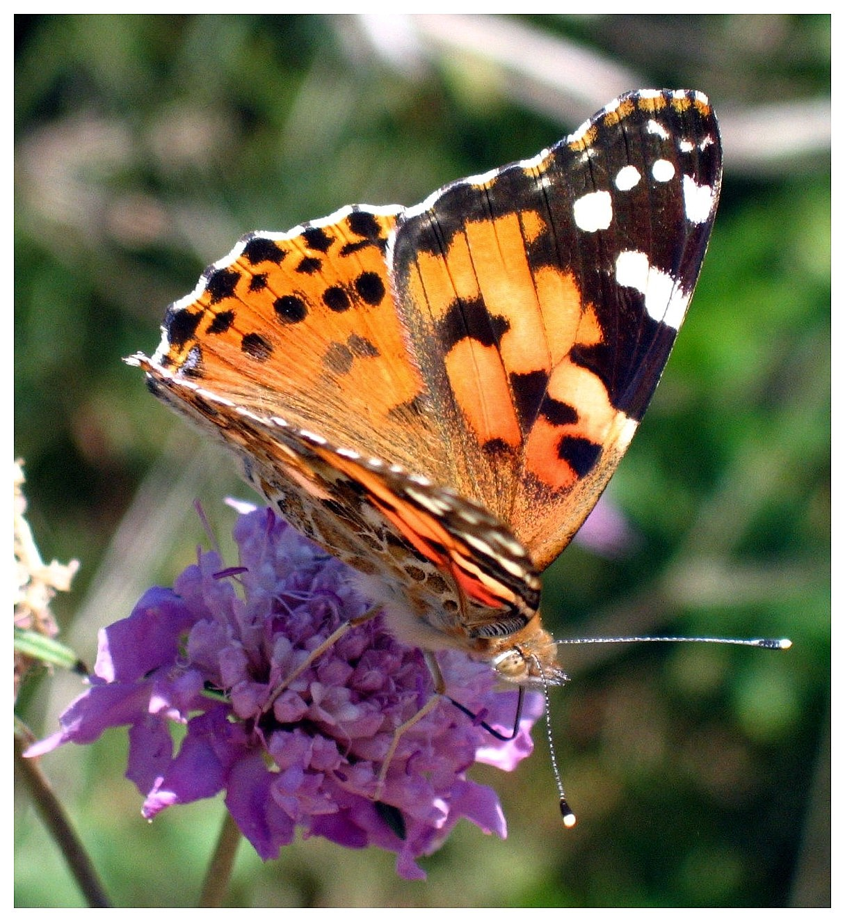 Lepidoptera-Island of Menorca...