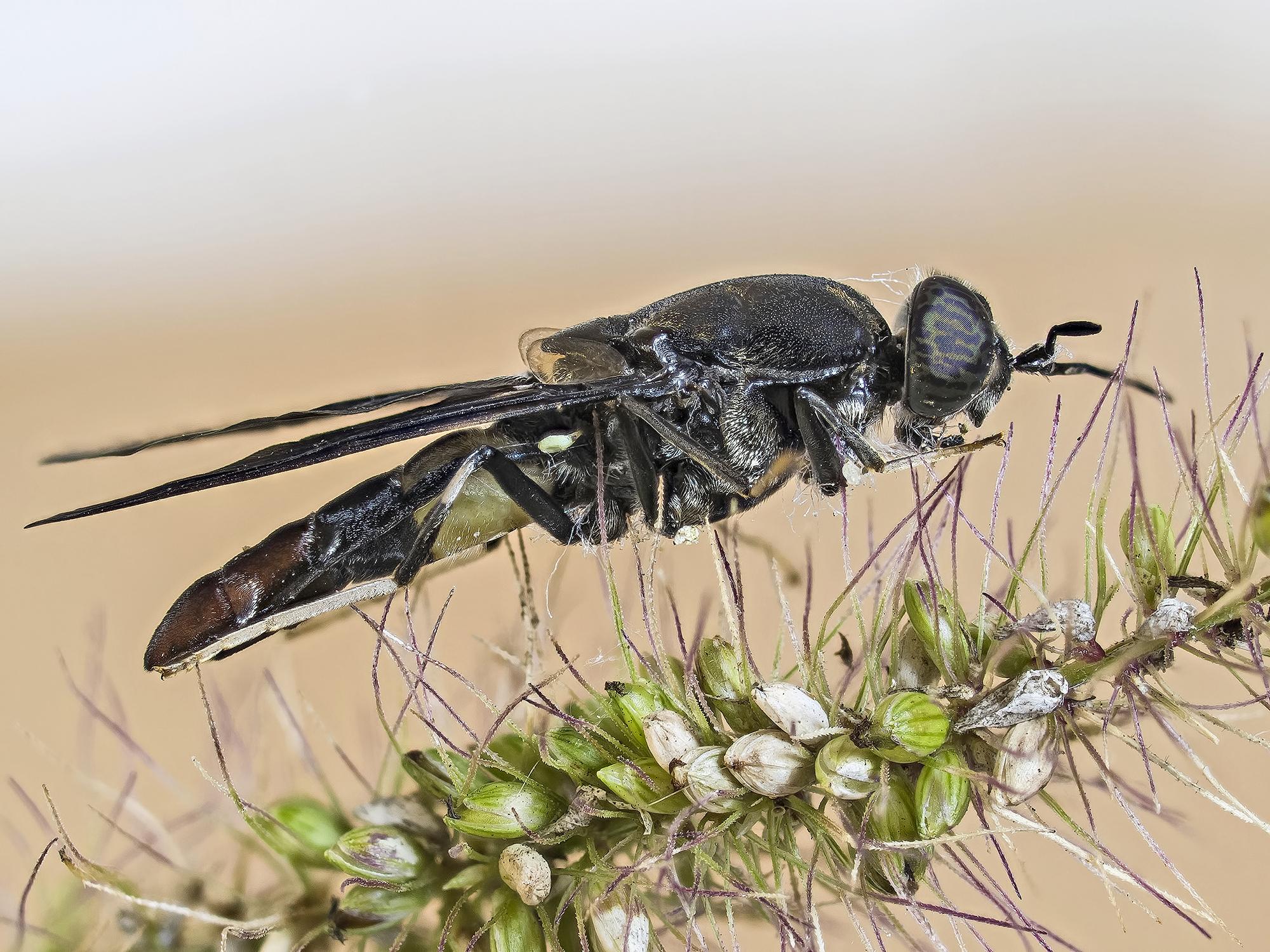Diptera black...