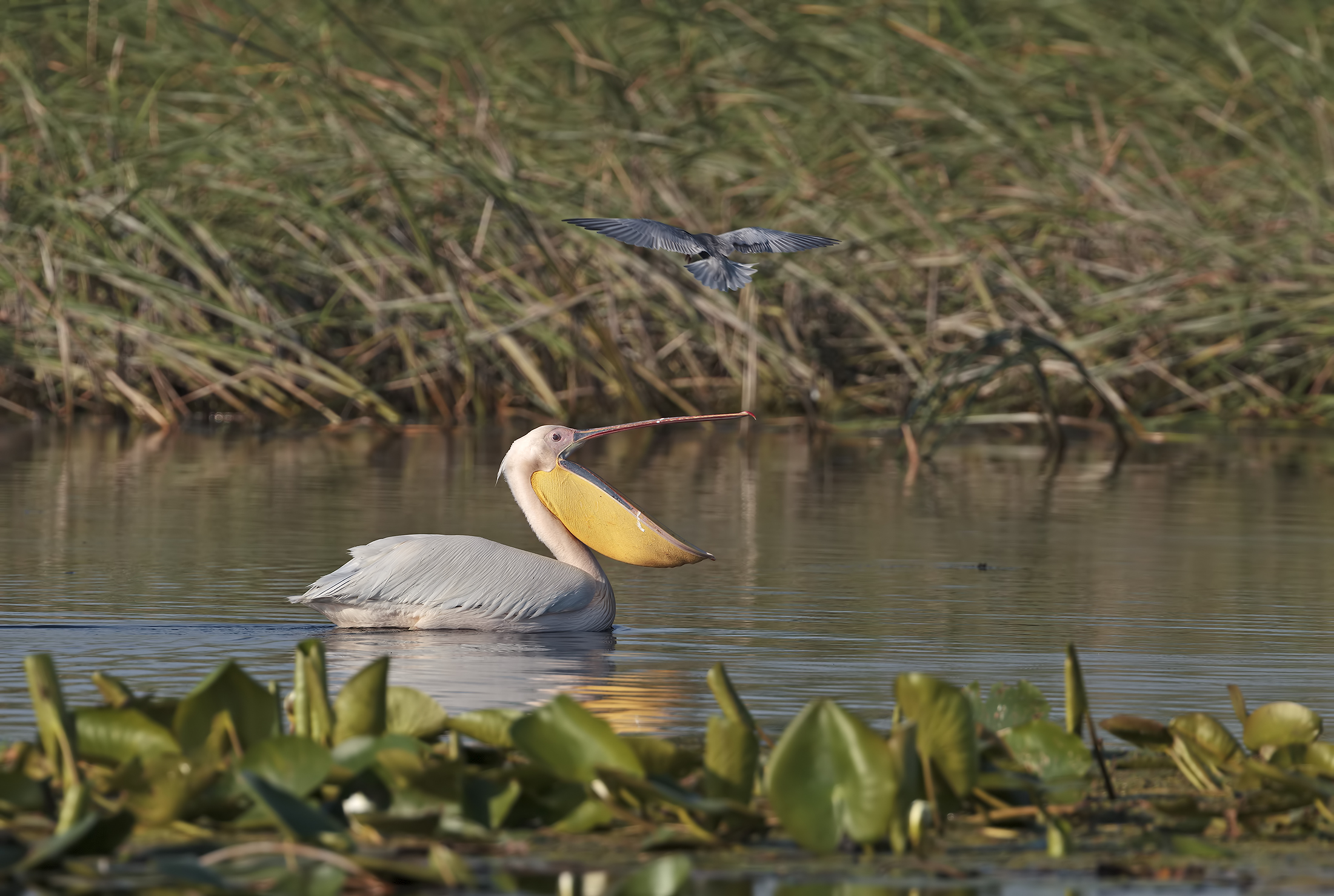 Skirmishes between pelican and whiskered tern...