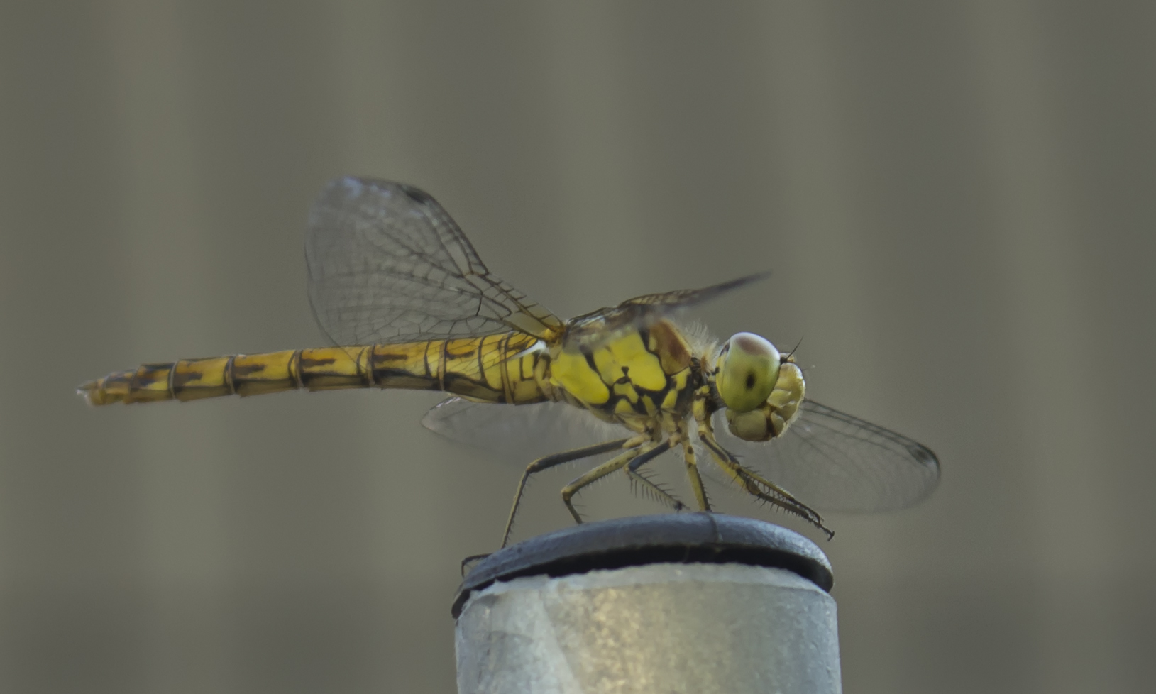 Quete dragonfly...