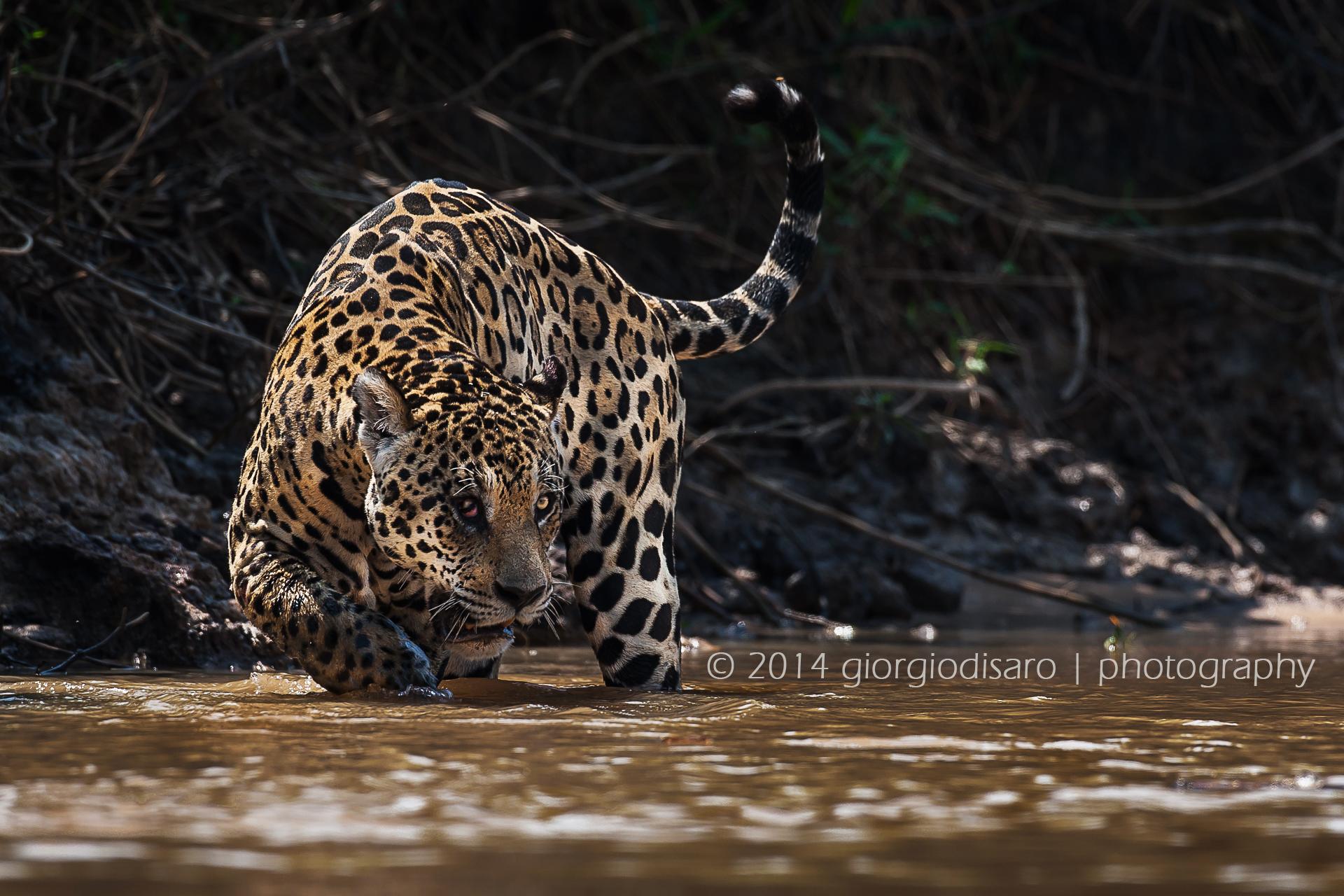 king of Pantanal...