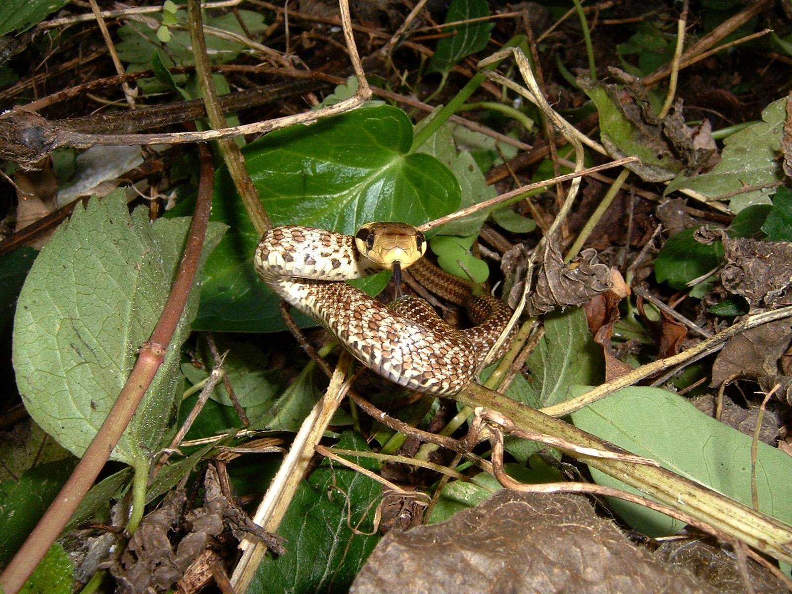 Grass Snake...