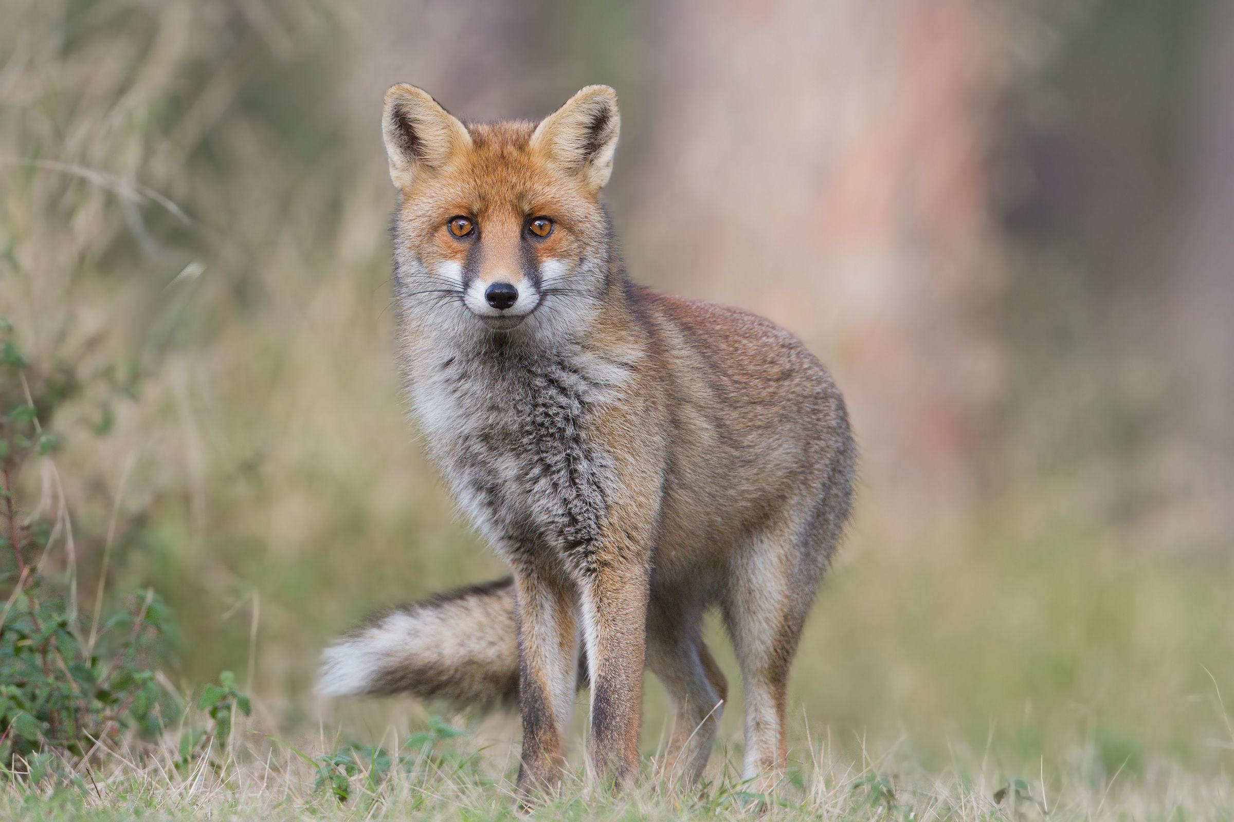 Red Fox - Red Fox...