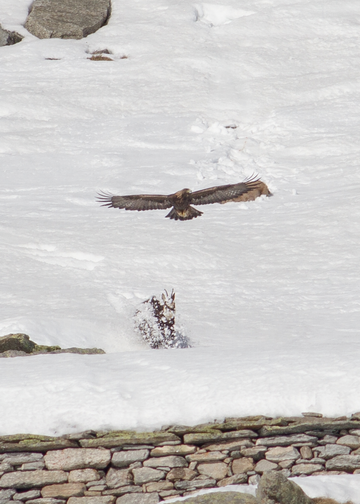 Aquila attacks ibex...