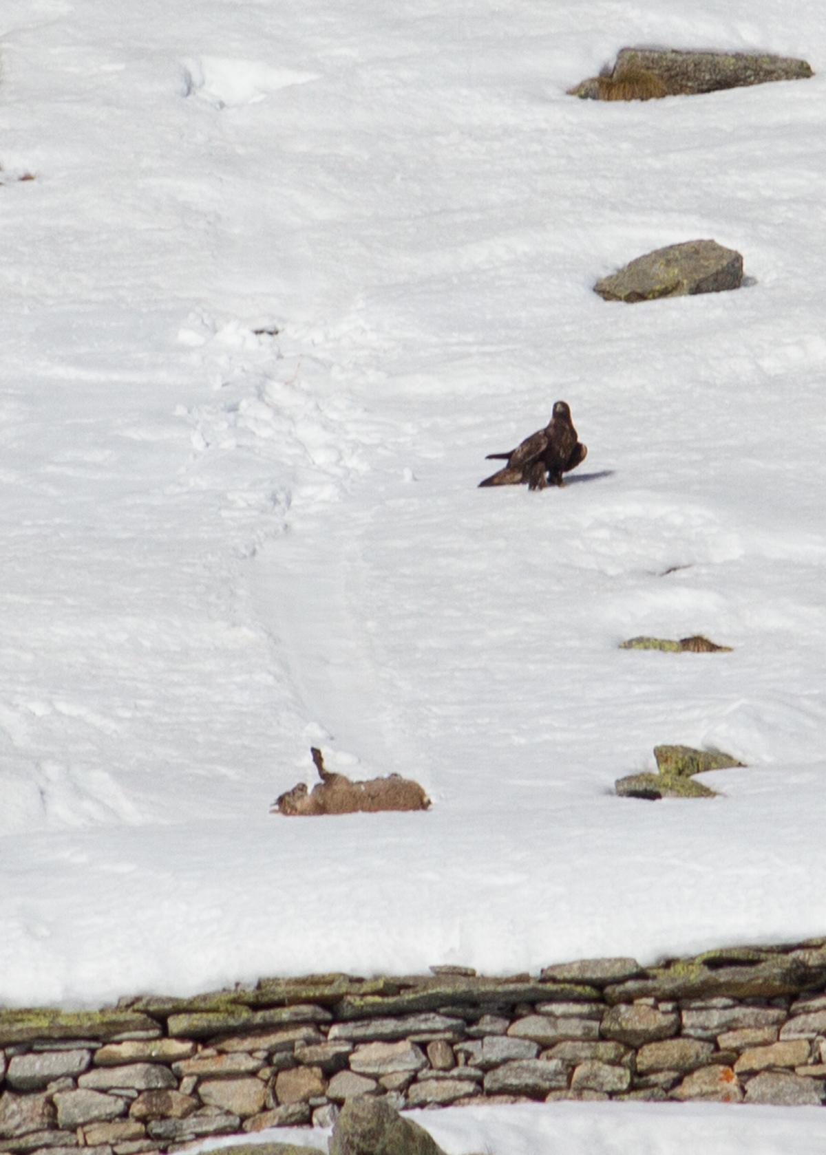 Aquila attacks ibex...
