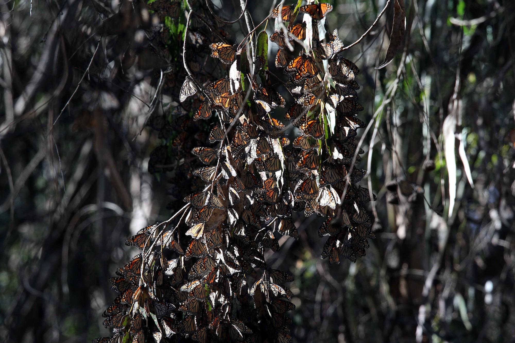 Farfalle monarca...