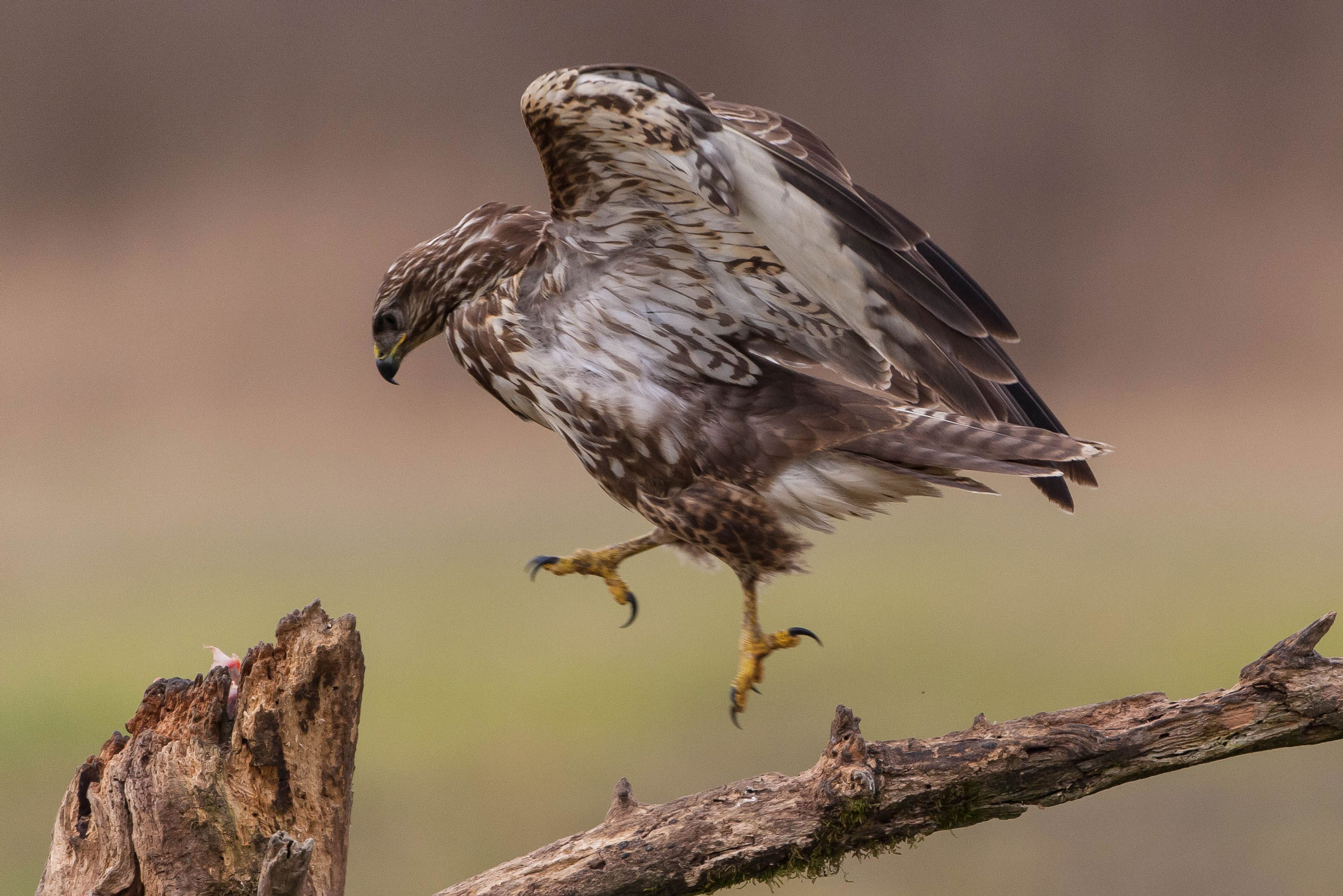 the jump of the buzzard...