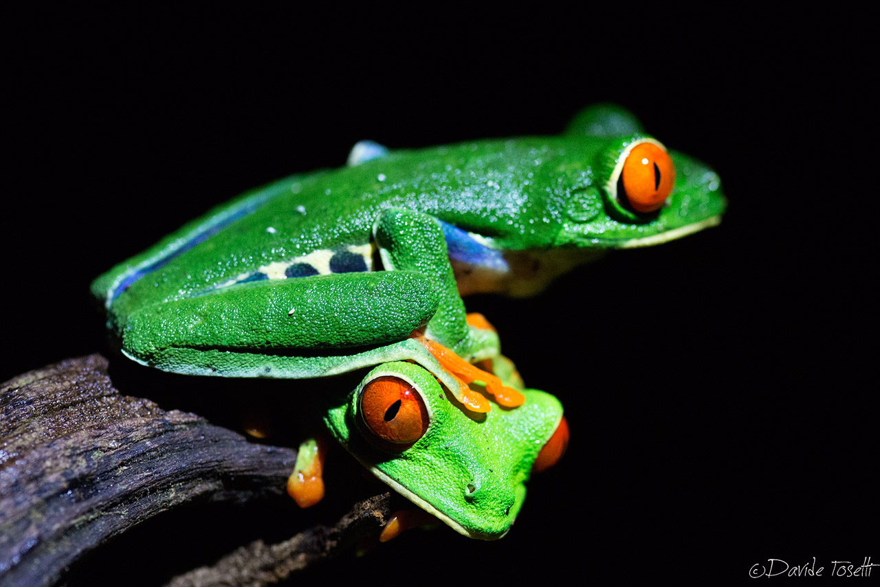 Red-eyed tree frogs...
