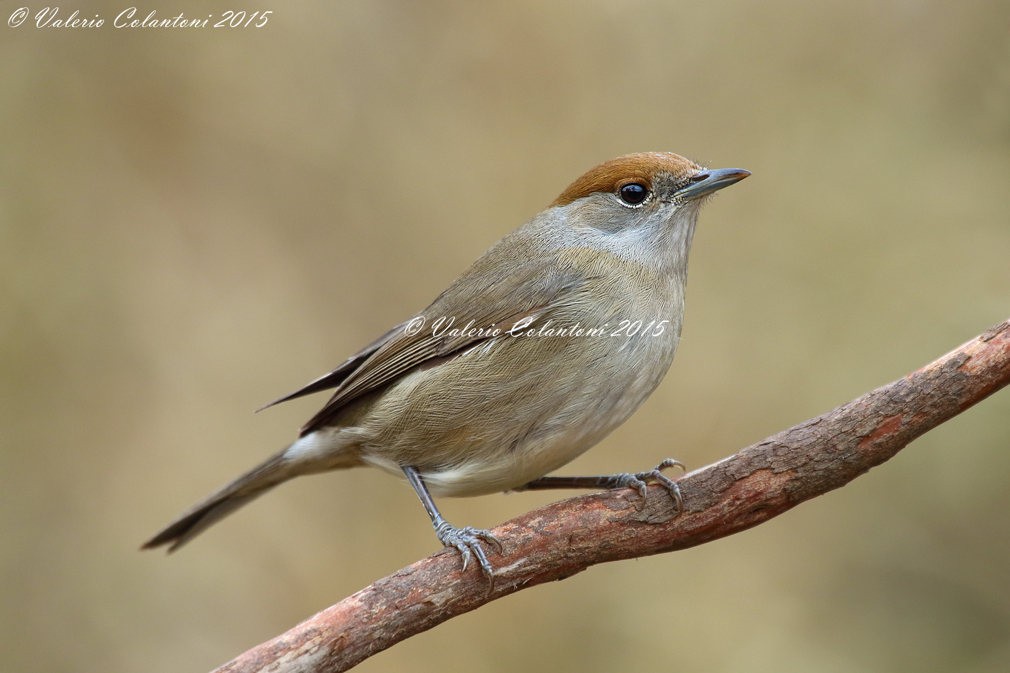 Blackcap, female...