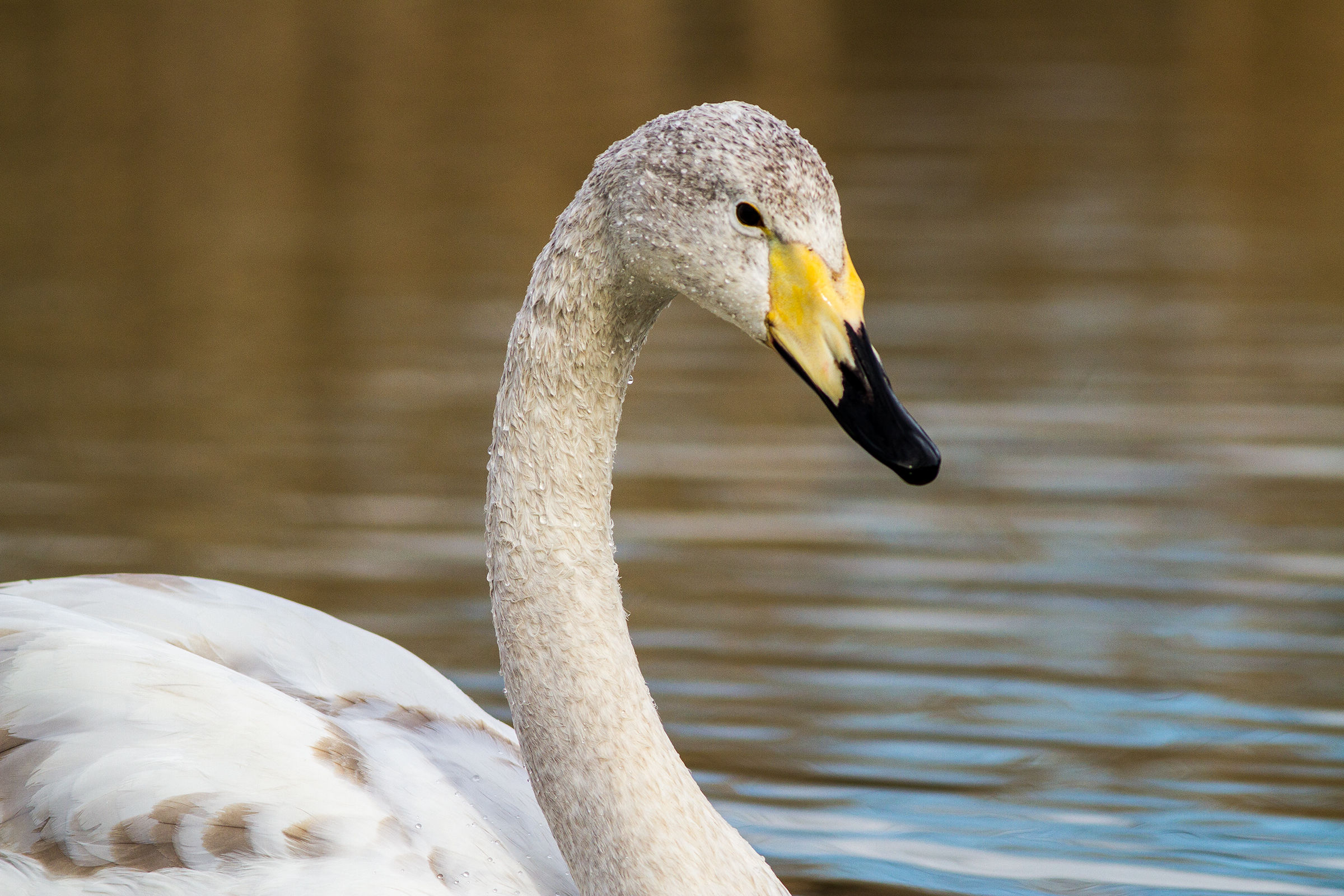 Portrait of young wild swan...