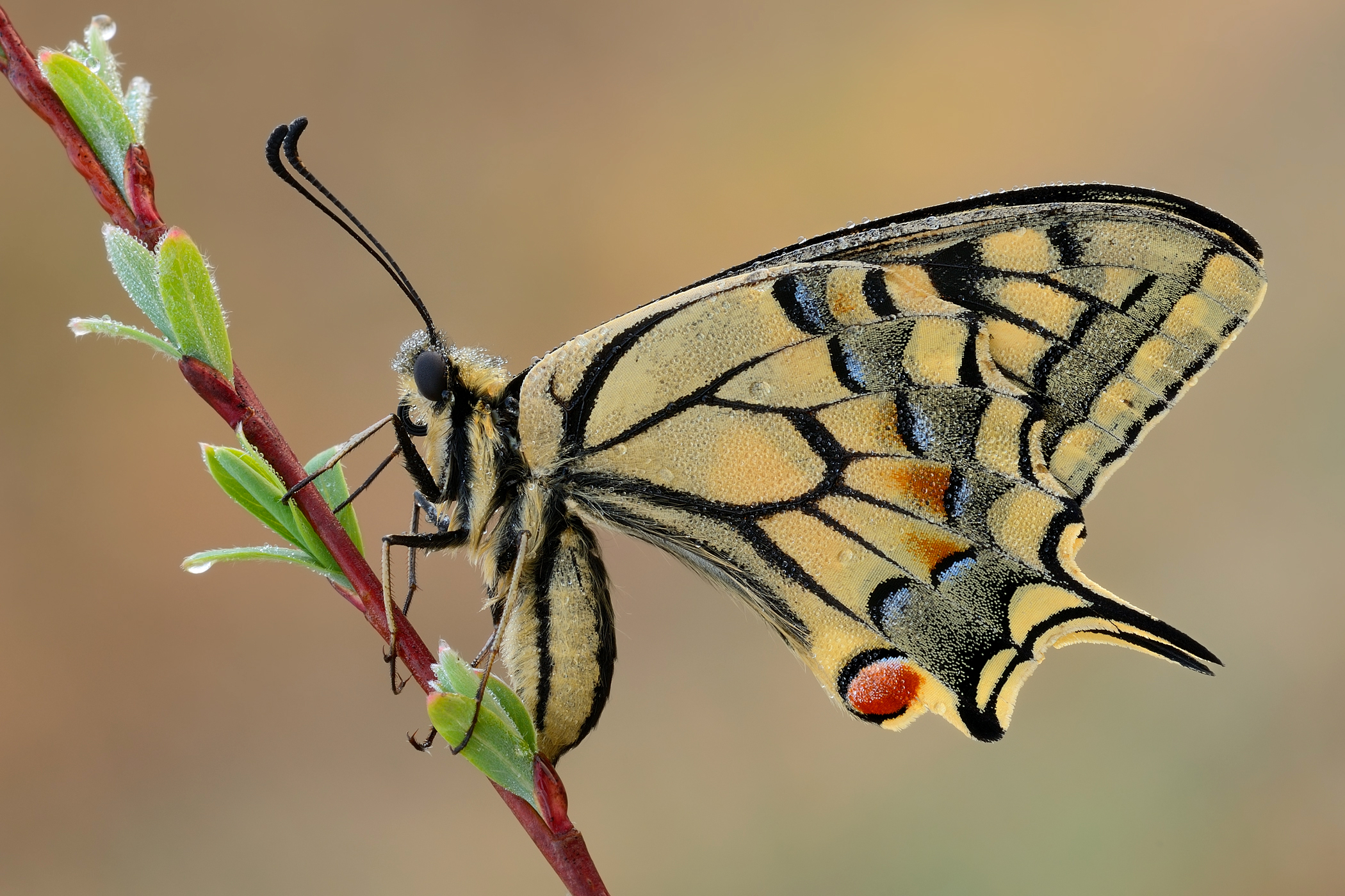 Machaon of March...