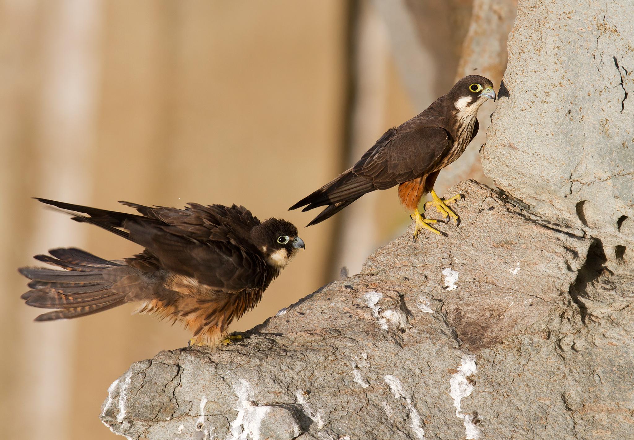 couple Eleonora's falcons...