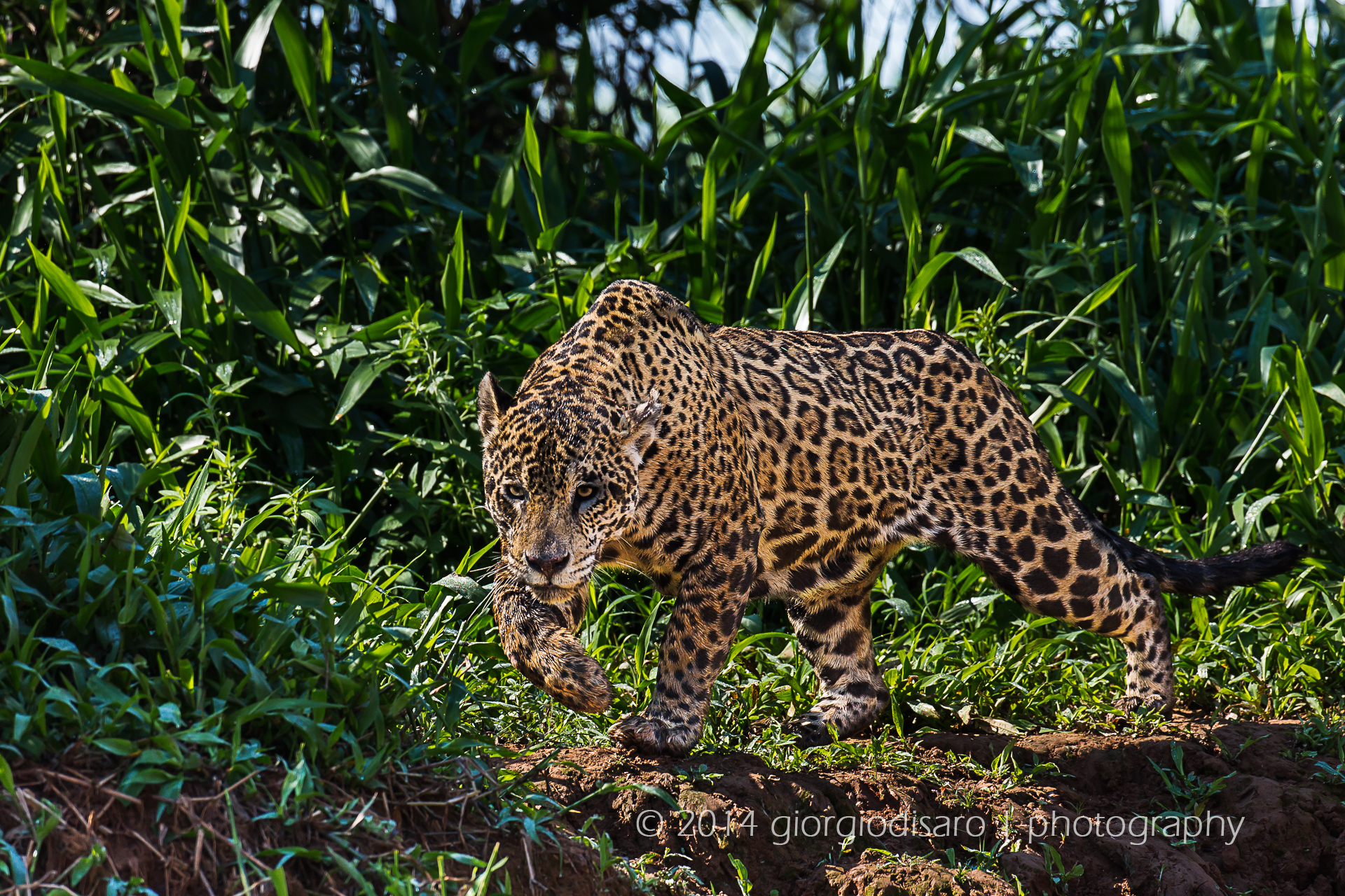 jaguar hunting...