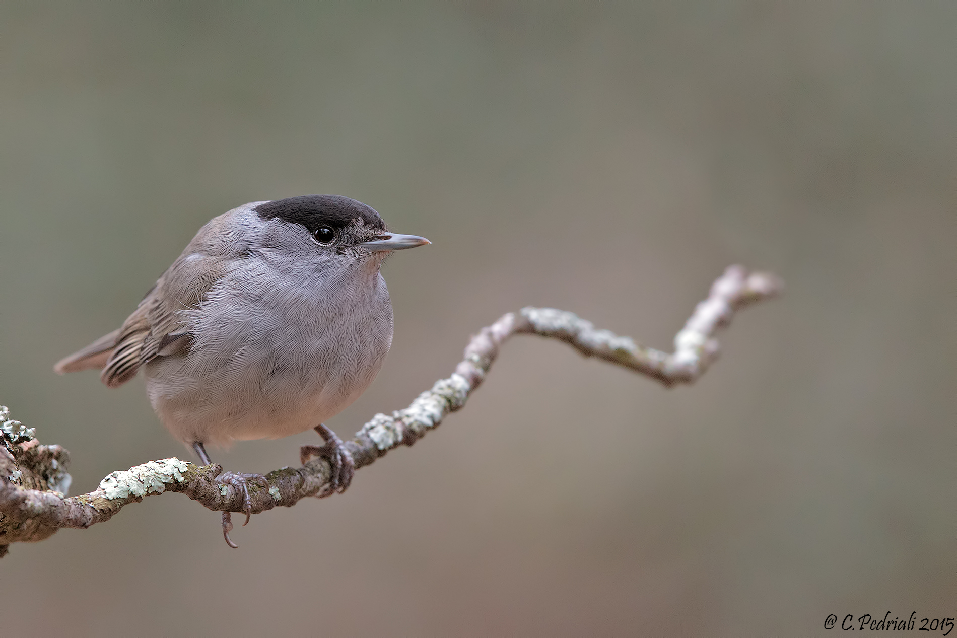 Blackcap male ......