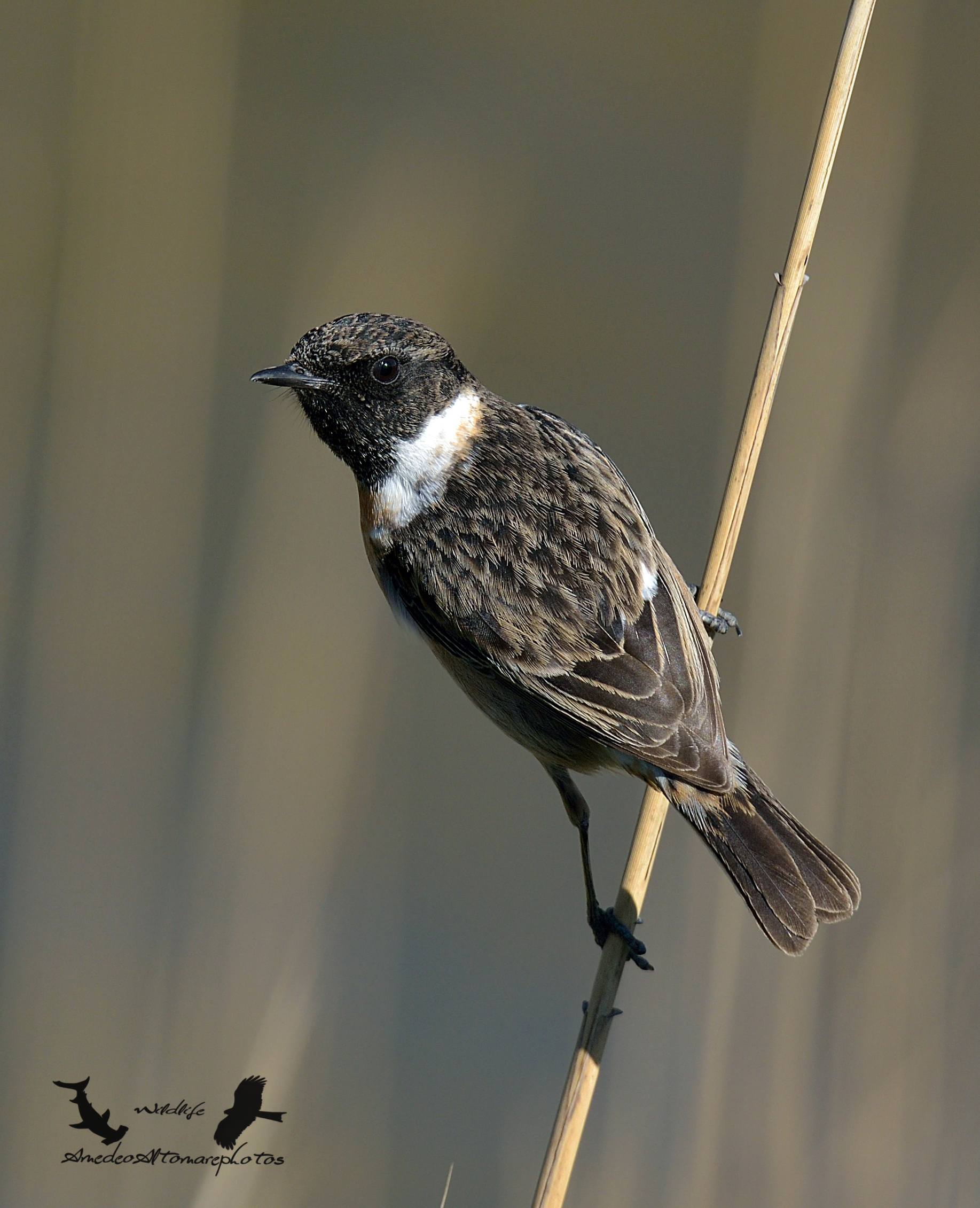 Stonechat m. African stonechat 2015...