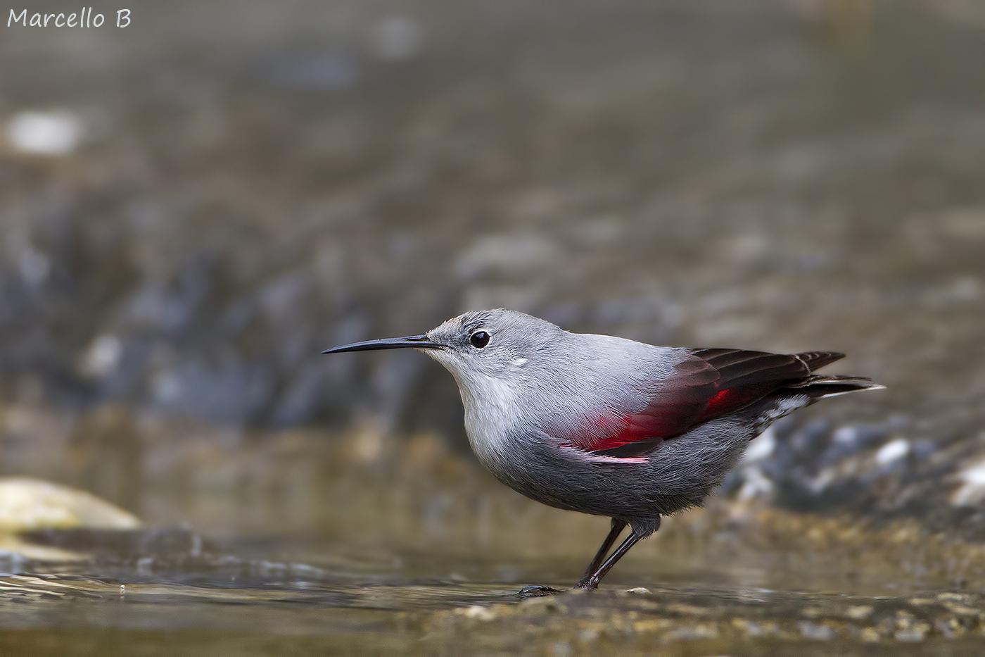 Woodpecker Muraiolo...