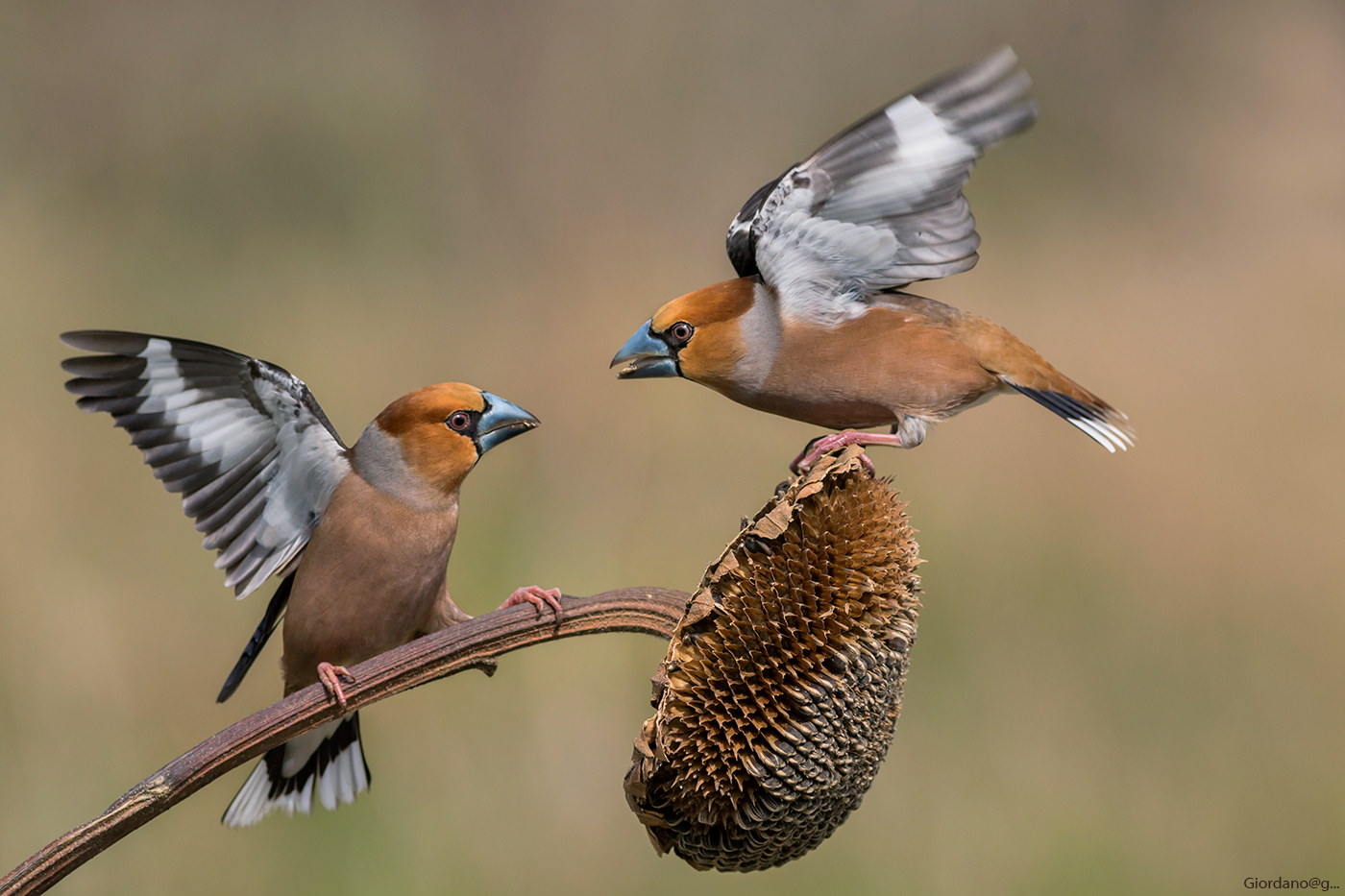 The usual ... Hawfinches...