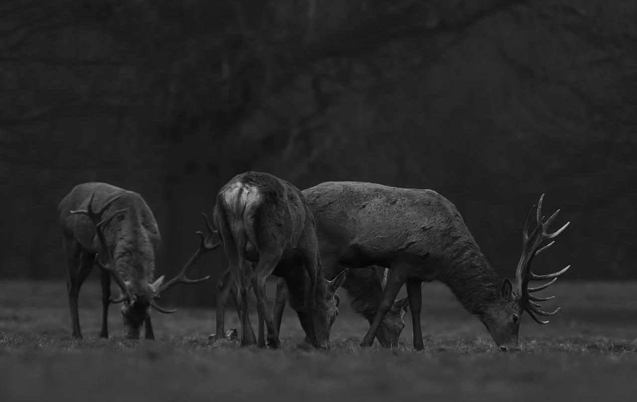 Bull herd...