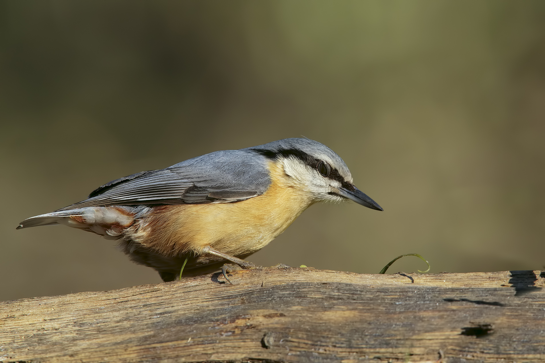 Nuthatches Bivigliano ......