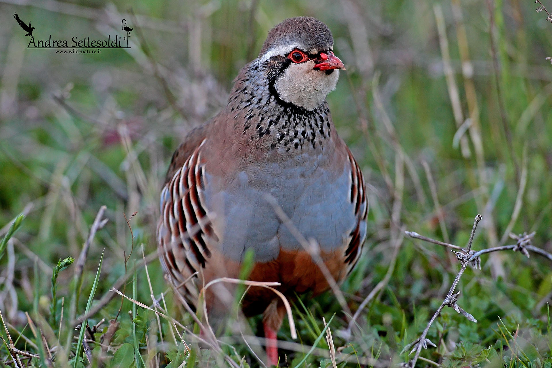 Red partridge...