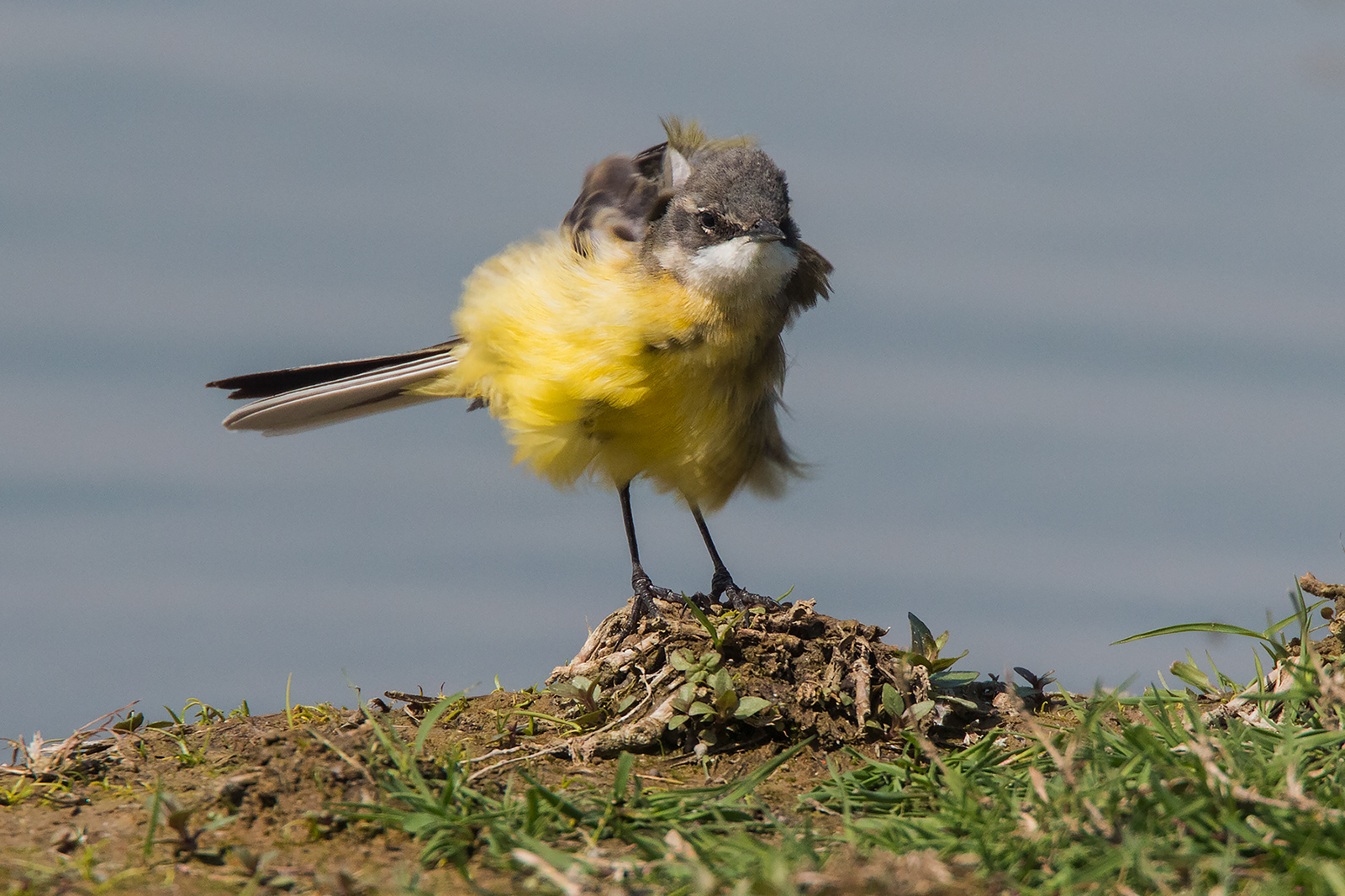 Wagtail Caucus...