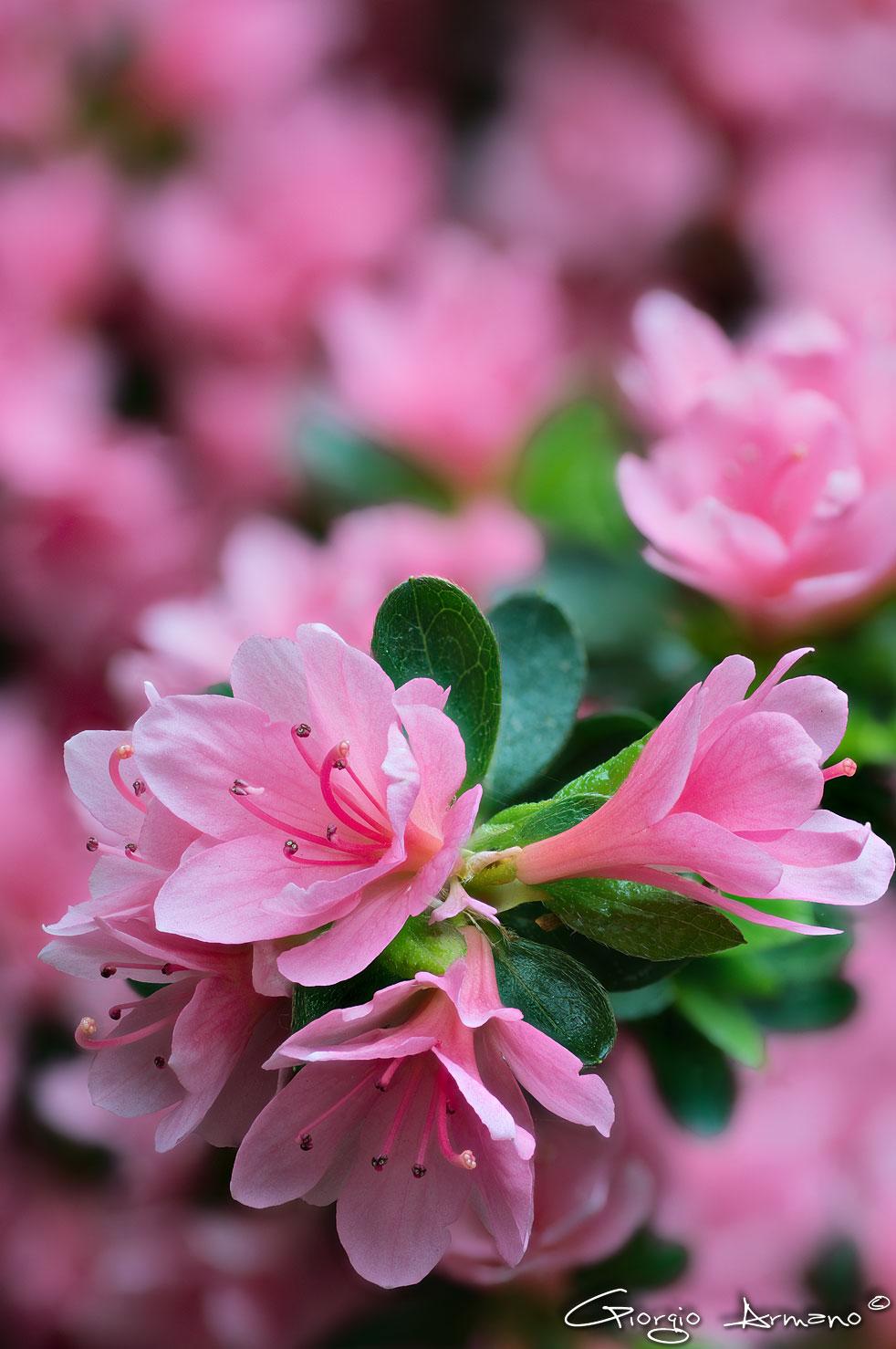 Azalea japonica var. Kirin...