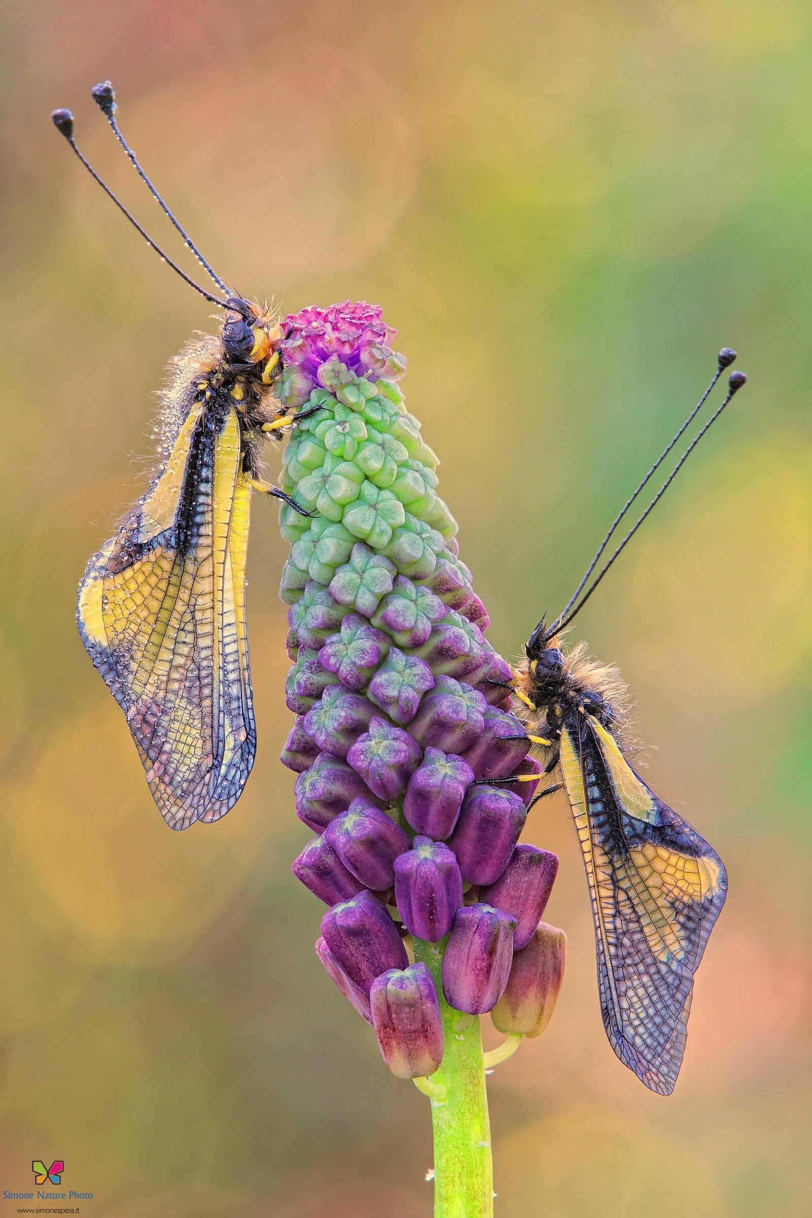 Libelloides.......