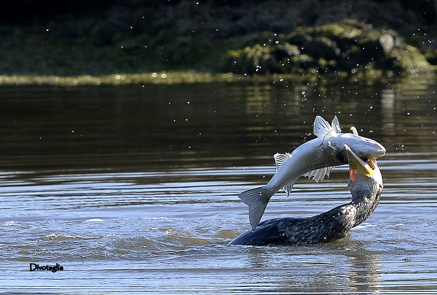 Cormorants and sea bass...