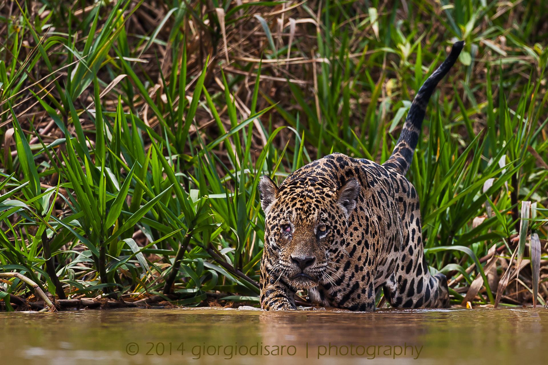 giaguaro2...