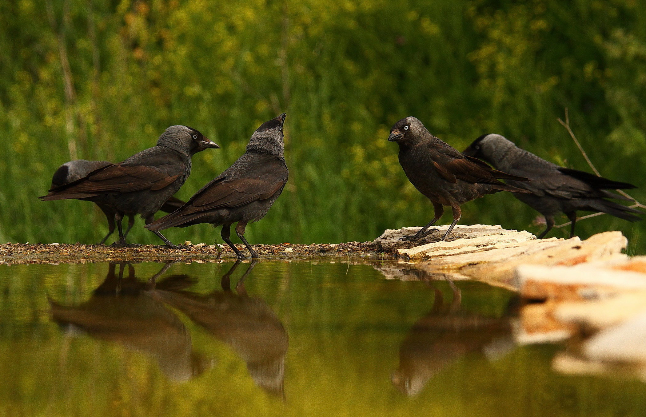 Jackdaws in conference...
