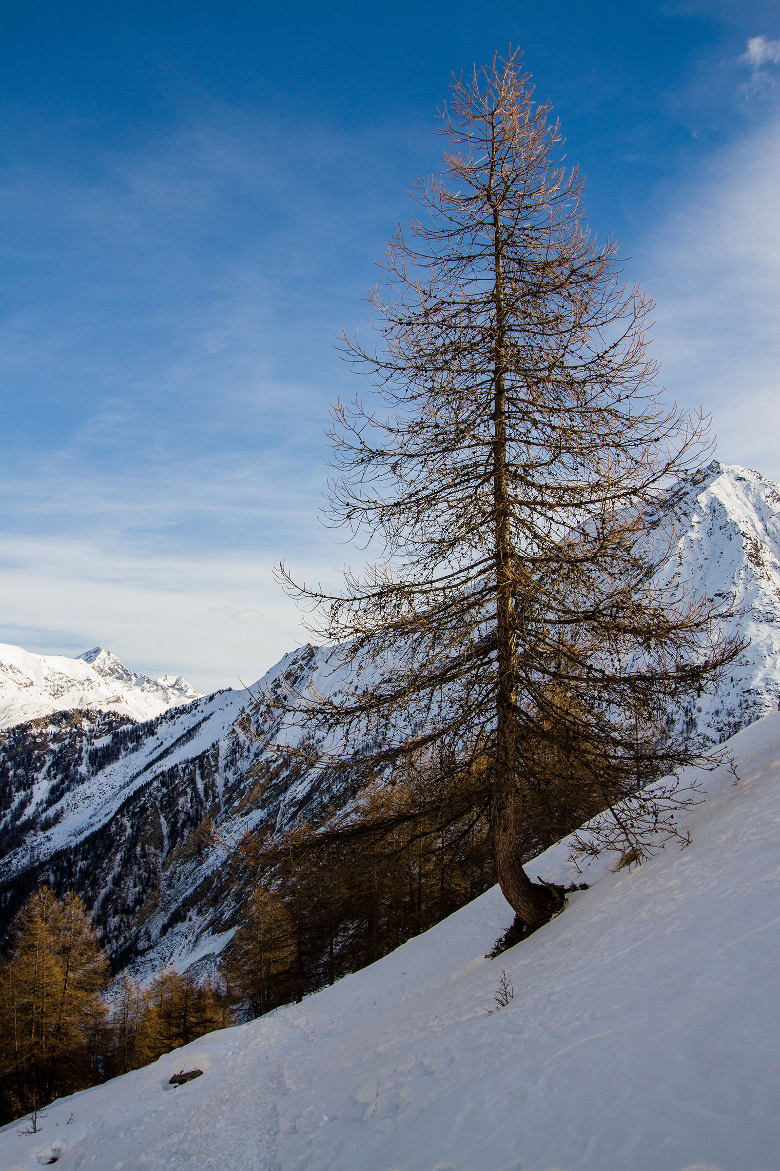 Larch winter...