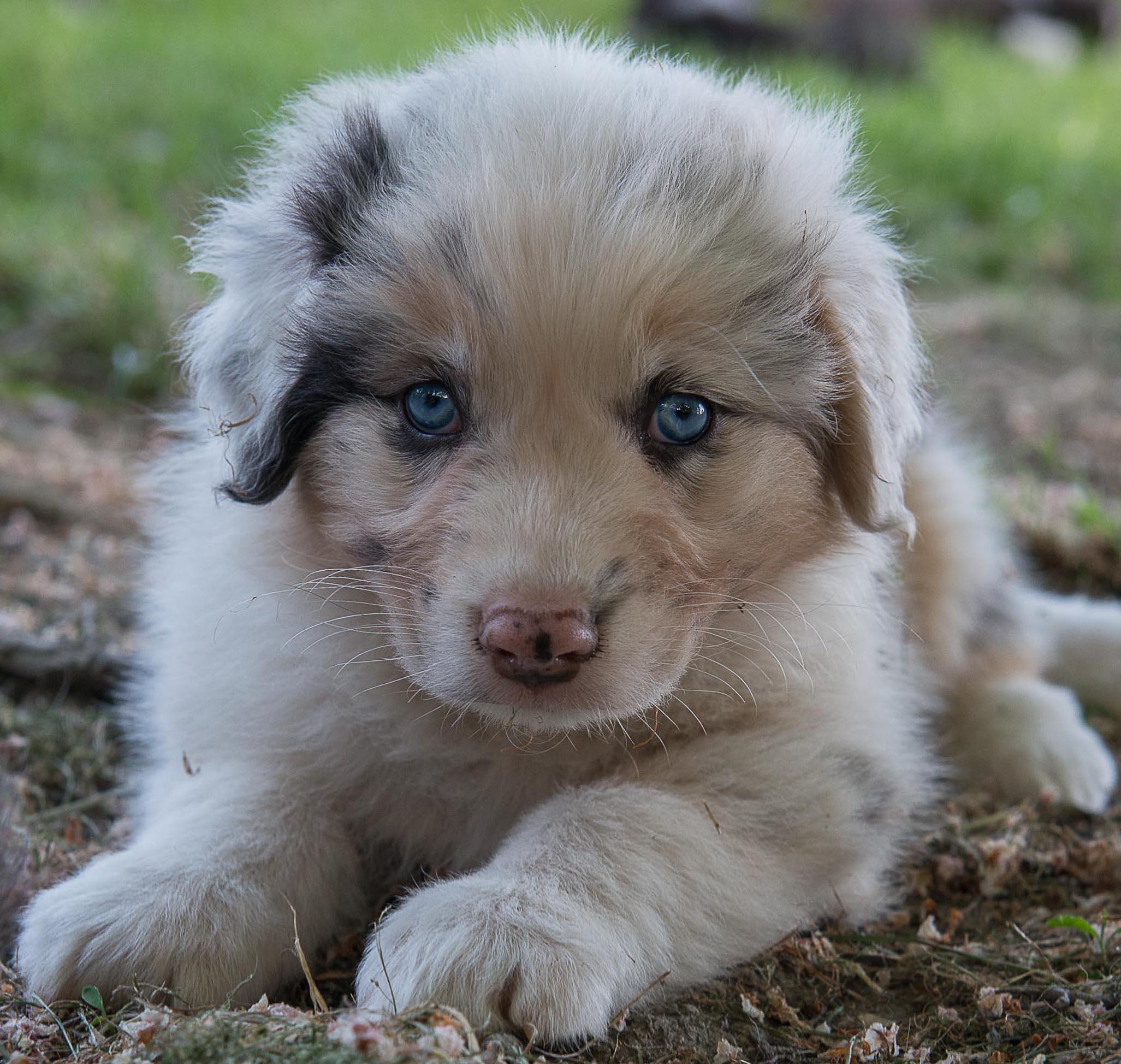 Australian Shepherd..Cucciolo...