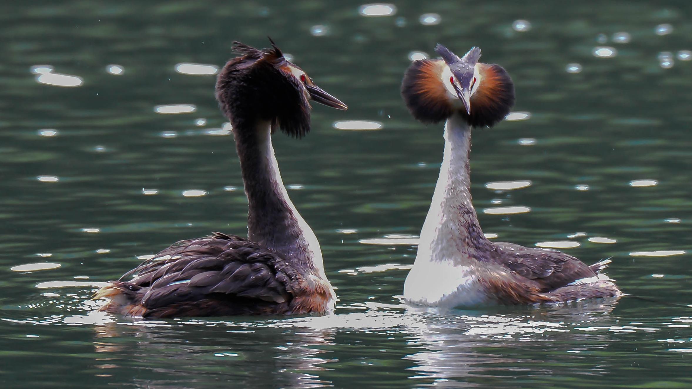 danza di corteggiamento...