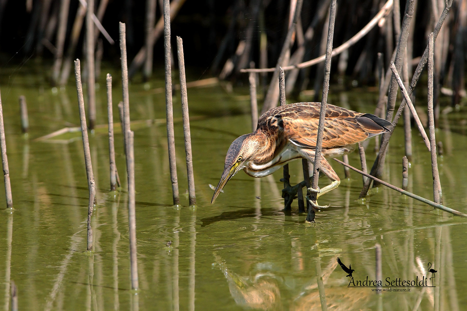 Bittern with prey...