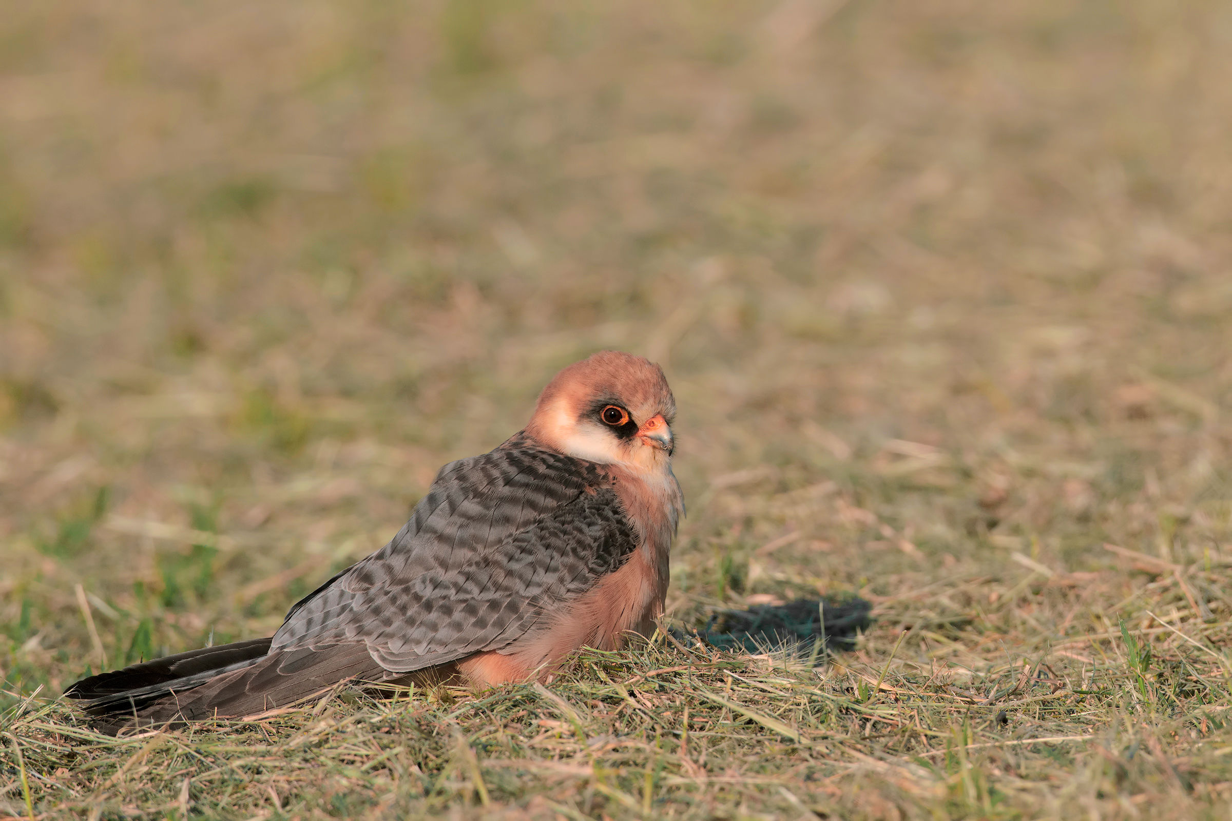 Red-footed Falcon - Red footed falcon...