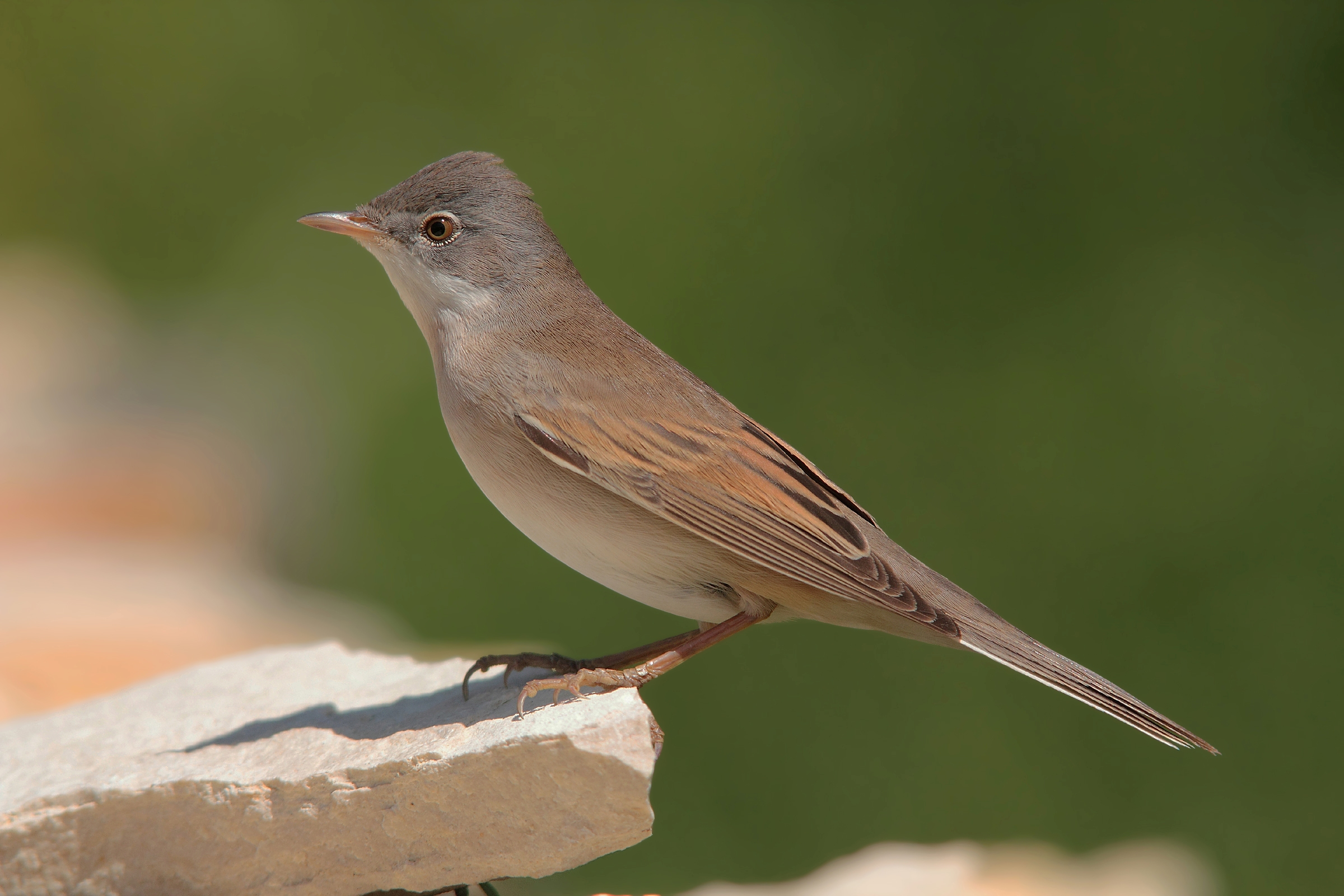 It should be a subalpine warbler?...