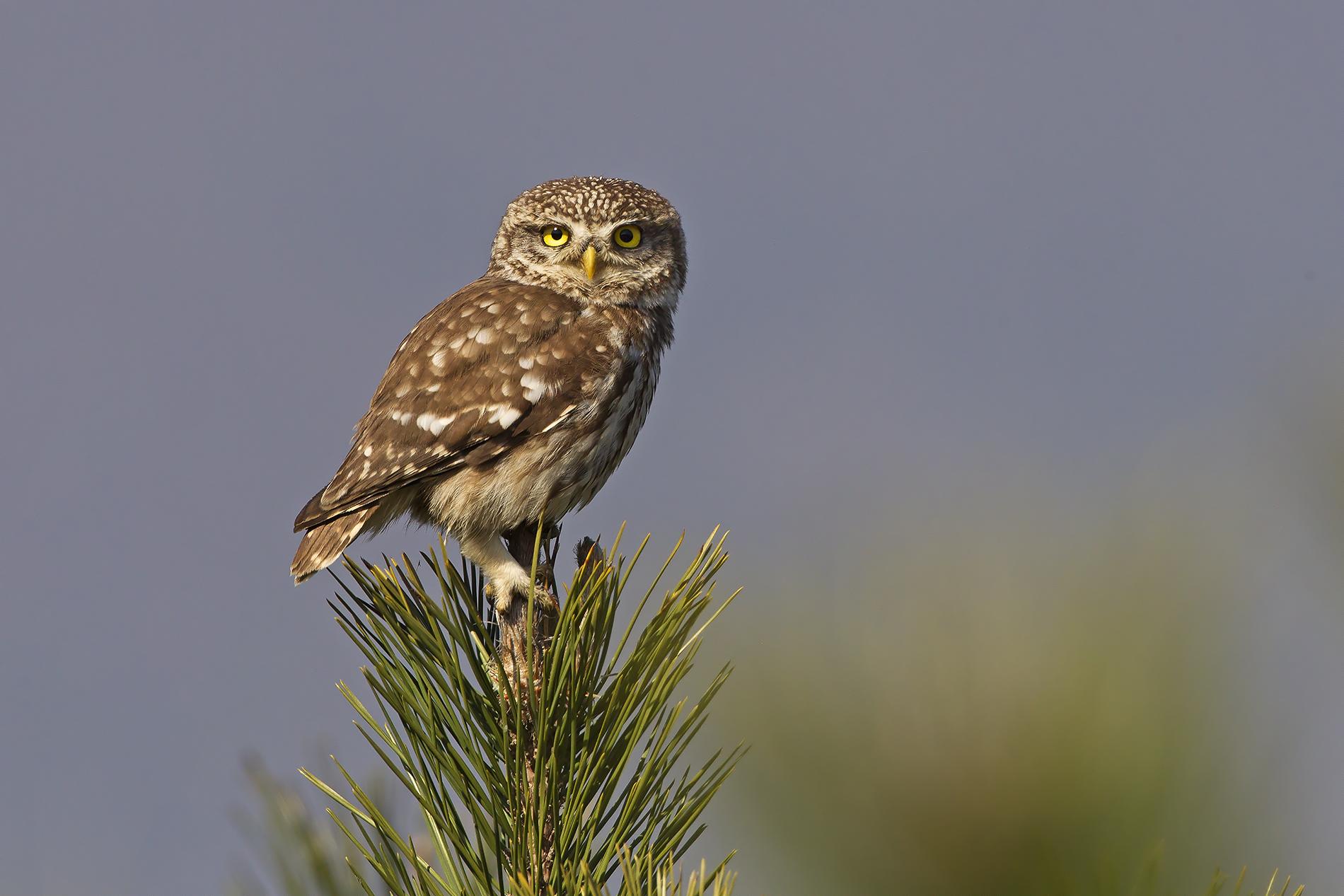 Owl (Athene noctua)...