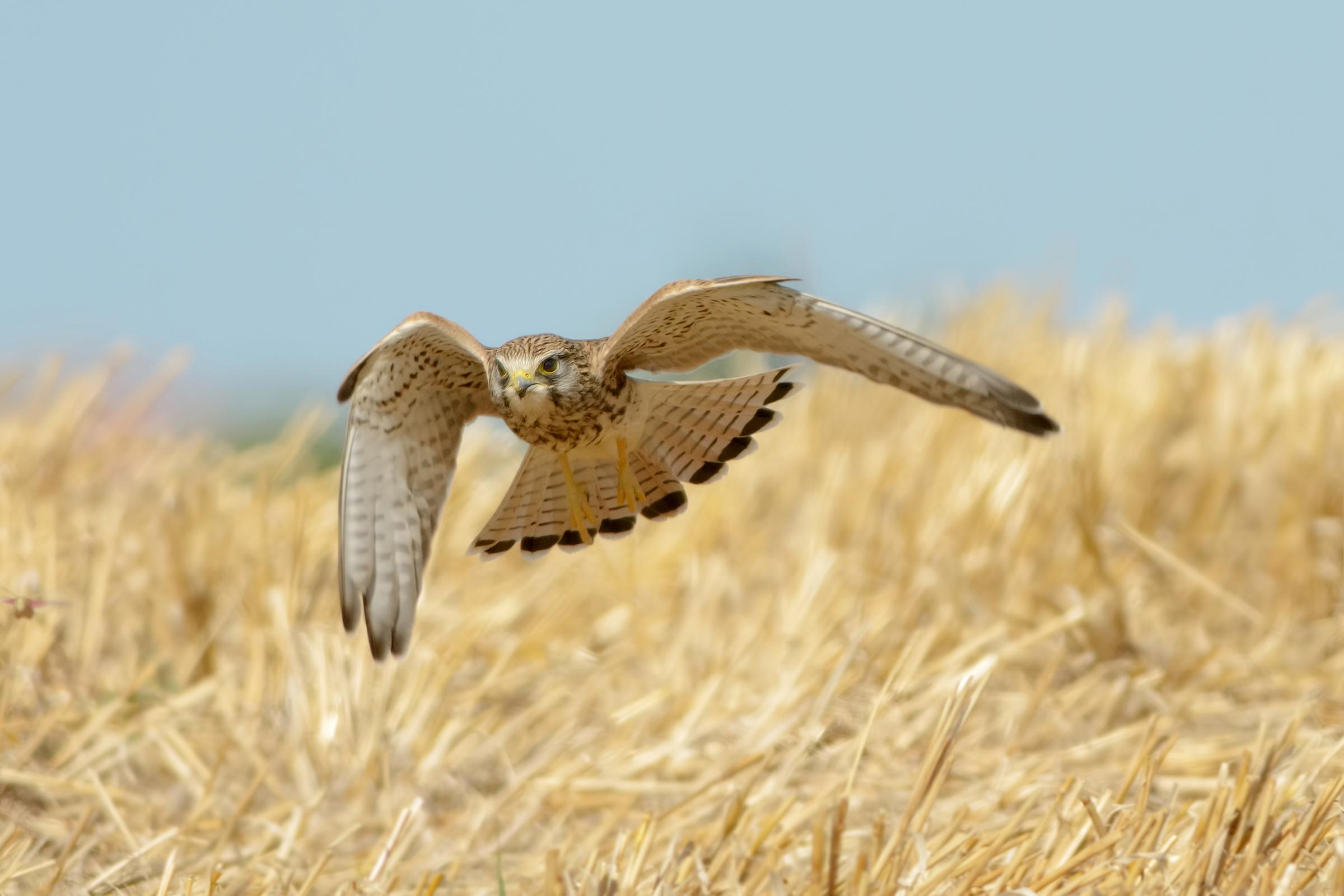 Gheppio (Falco tinnunculus)...